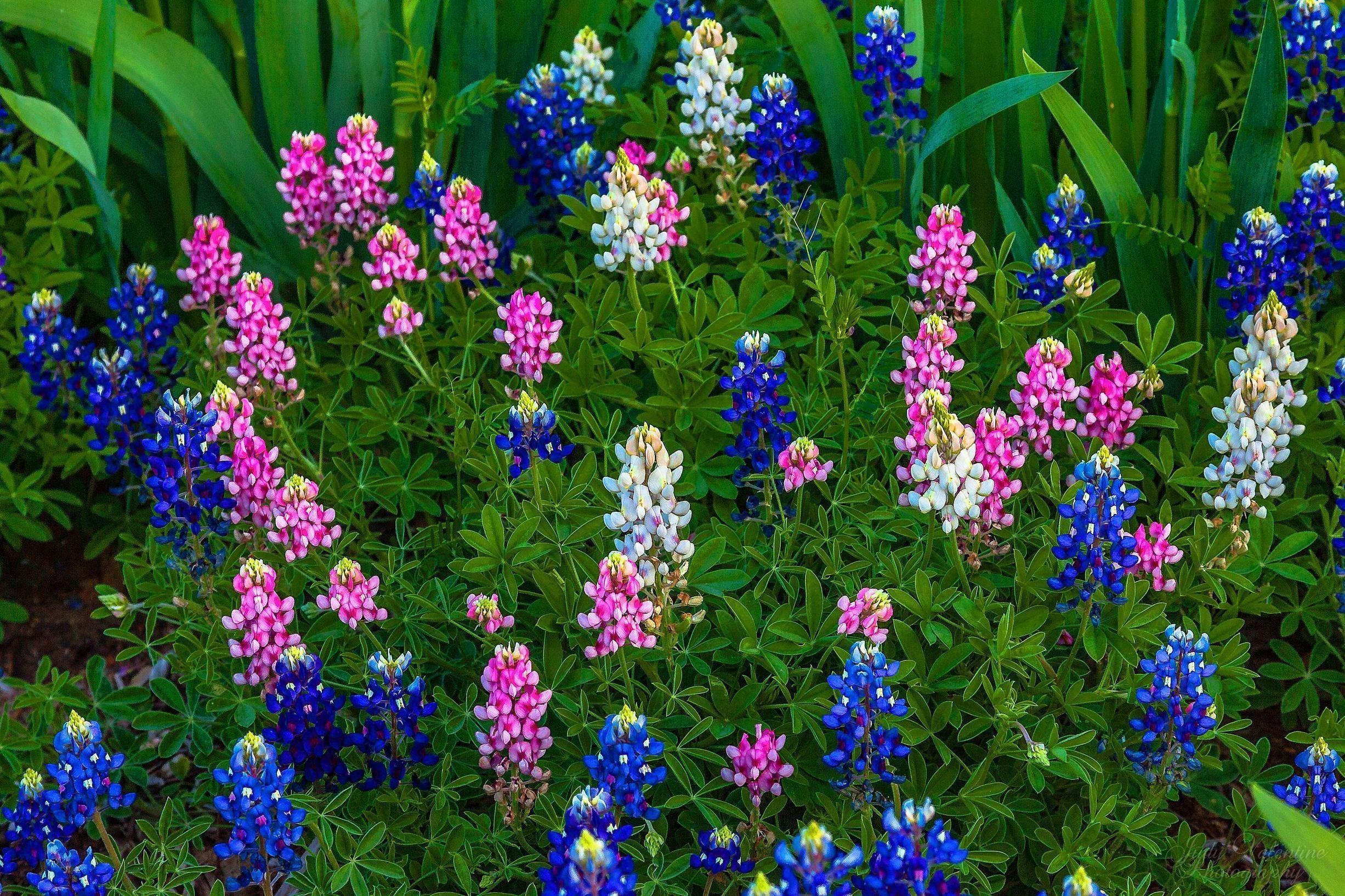 Res: 2453x1635, bluebonnet wallpapers wallpaper cave, Beautiful flower