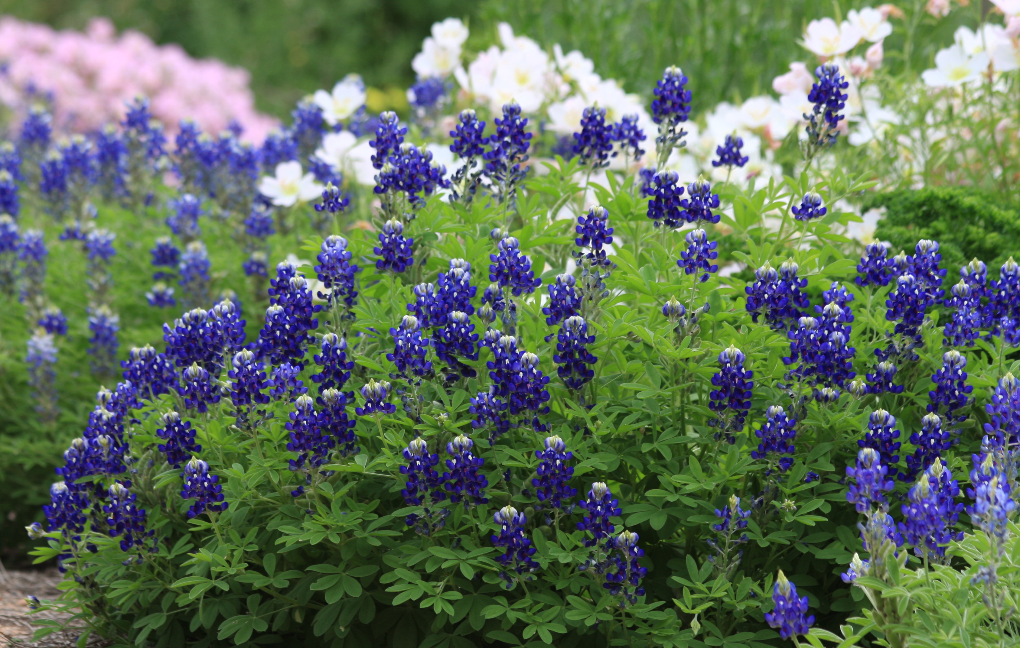 Res: 3373x2144, Texas A&M AgriLife horticulturists have described the deep blue color of  Lady Bird Johnson Royal Blue