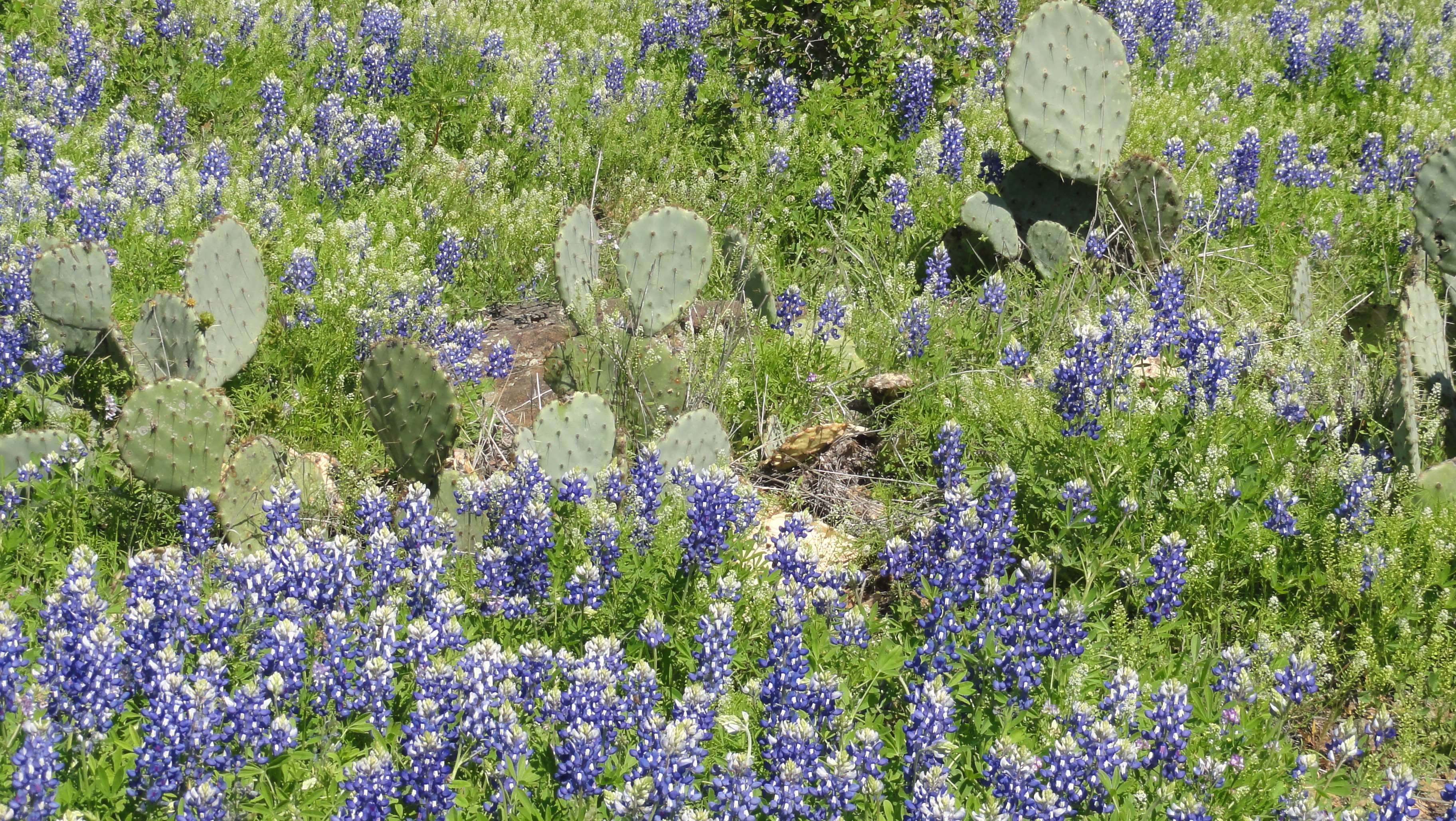 Res: 3648x2056, bluebonnets, cactus, flowers, spring, texas, wildflowers wallpaper and  background