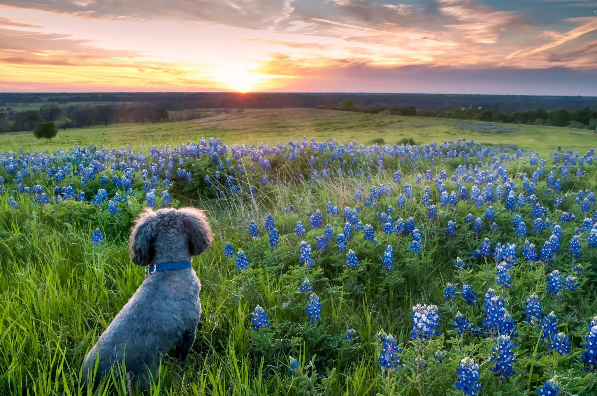 """Res: 2048x1360, On an afternoon vist to Sugar Ridge Rd in Ennis to shoot the Bluebonnets I  was able to capture my traveling buddy """"Big Boy"""" in those beautiful Texas  ..."""