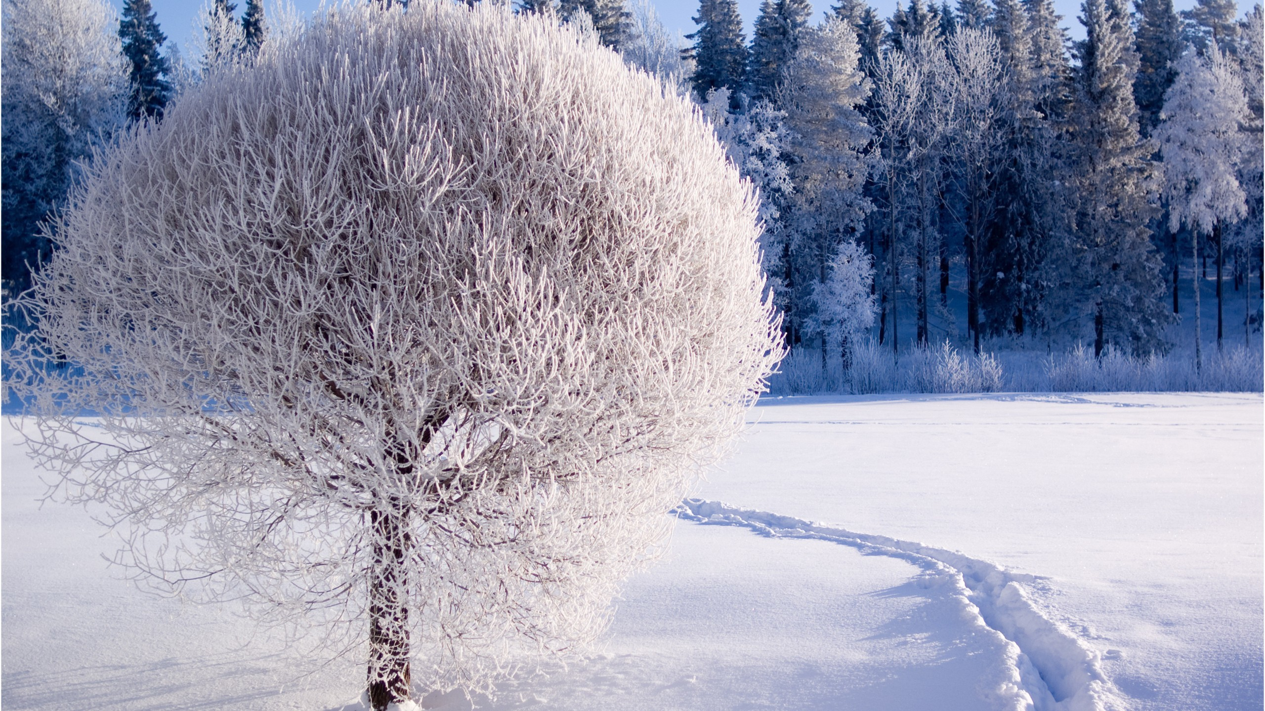 Res: 2560x1440, Scene Snow Forest Landscape Snowy Trees Tree Winter Nature Picture Wallpaper