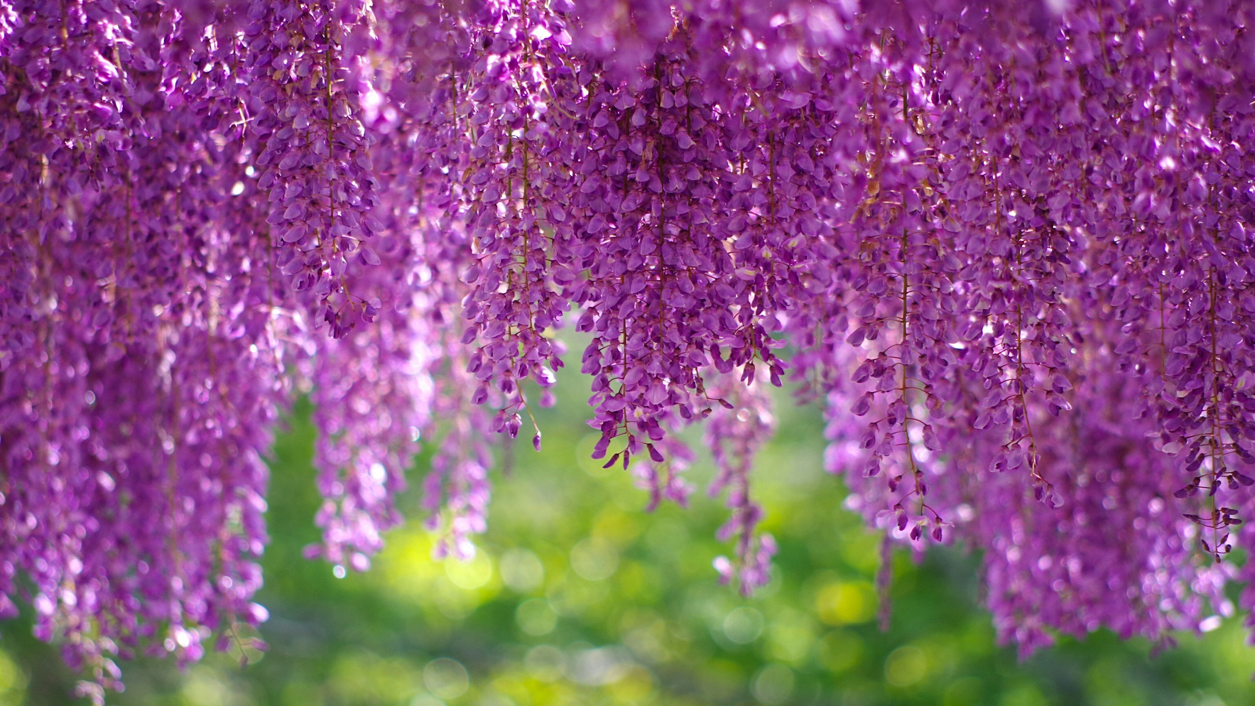 Res: 2560x1440, Nature / Wisteria tree Wallpaper