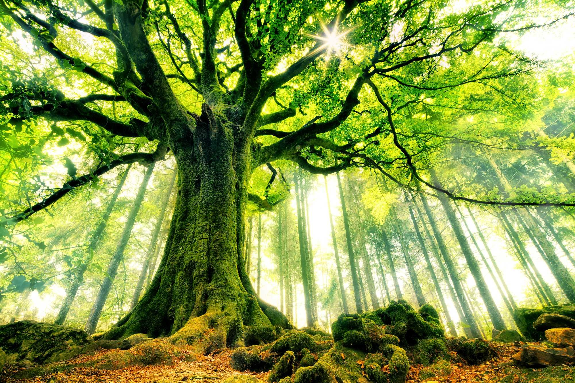 Res: 2000x1333, Full Hd For Tree Wallpaper Forest Murals Nature Scenes Walls High  Resolution Laptop
