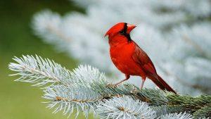 Red Bird wallpapers