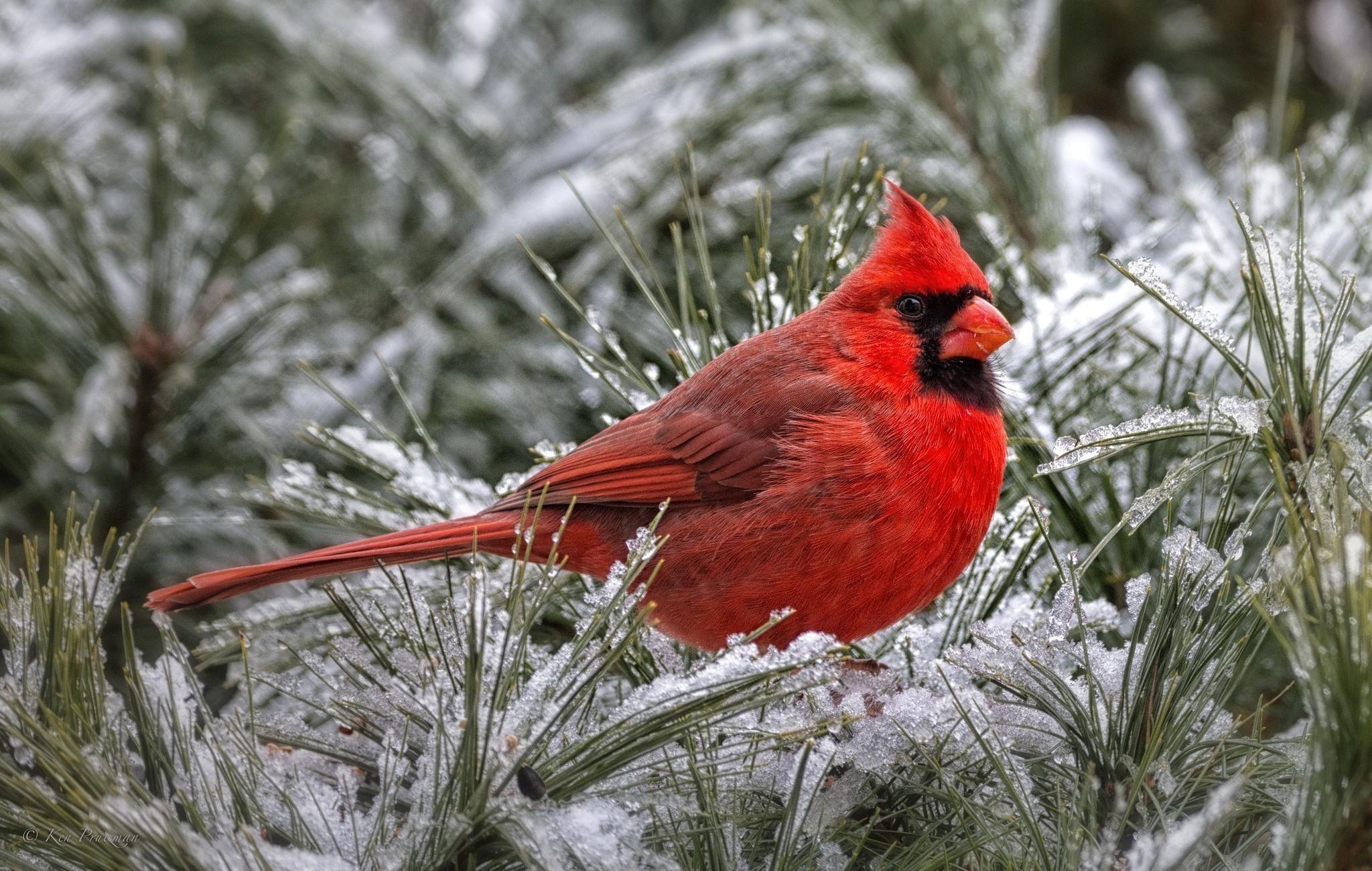 Res: 2048x1300, Northern Cardinal Birds ...