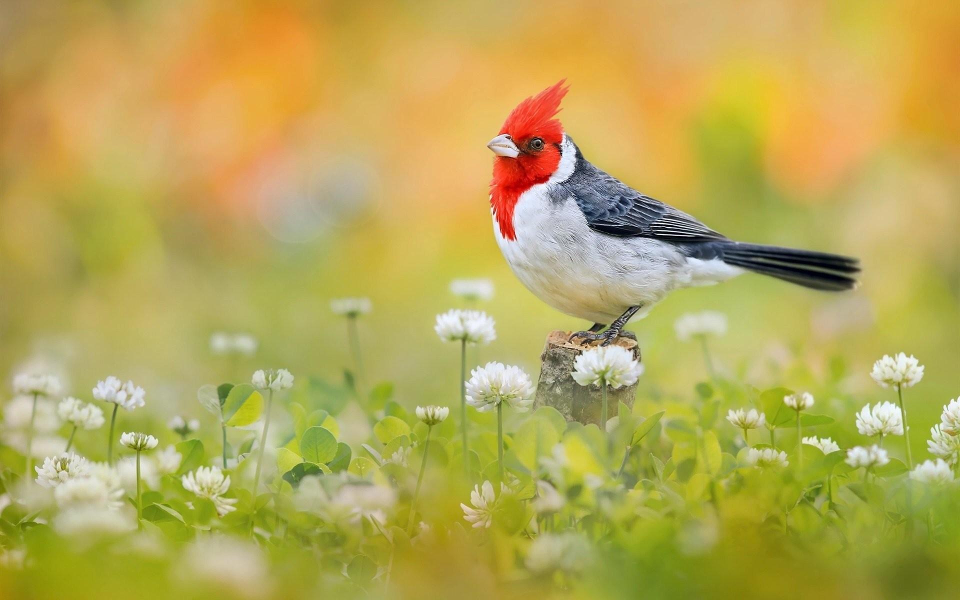 Res: 1920x1200, Animal - Red-Crested Cardinal Animal Bird Cardinal Wallpaper