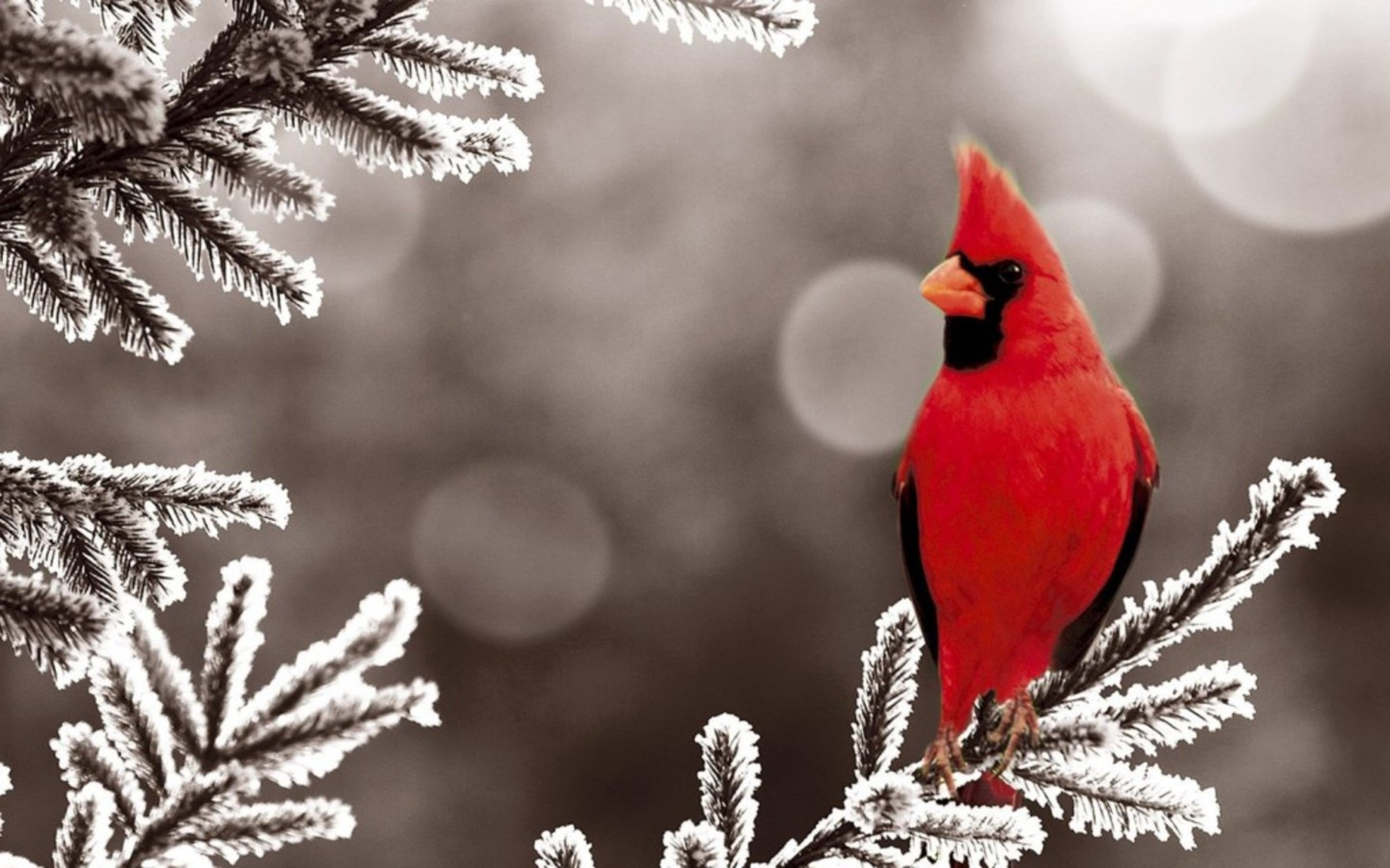 Res: 1920x1200, Red Bird Wallpaper - Download Wallpaper