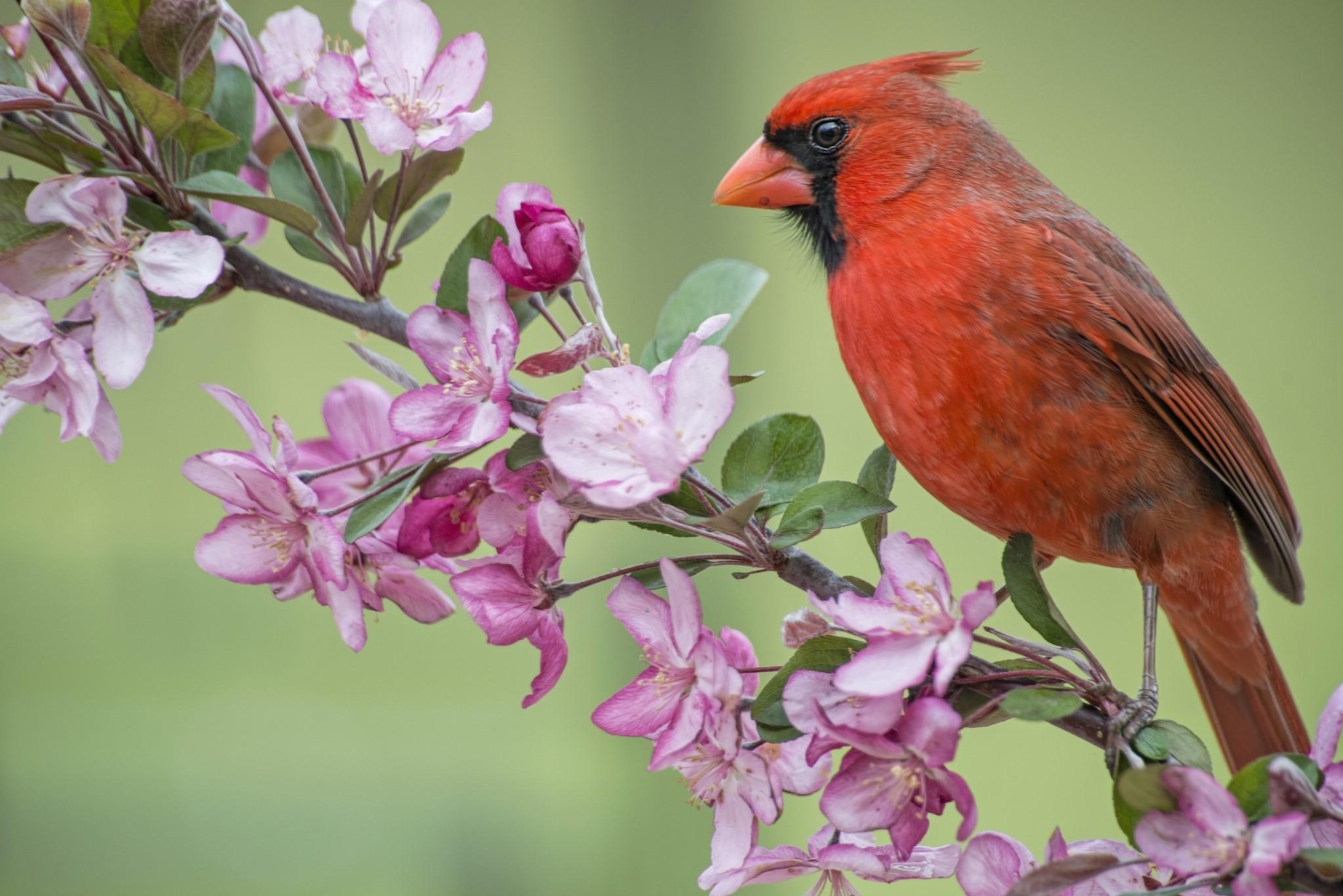 Res: 2048x1367, Animal - Cardinal Animal Bird Northern Cardinal Branch Flower Wallpaper