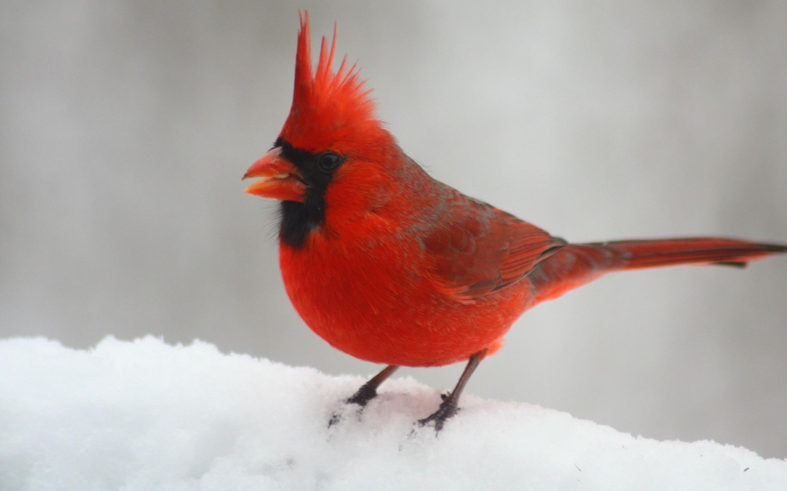 Res: 2560x1600, Birds, Northern Cardinal, Winter, Red Bird, Northern Cardinal Red Bird