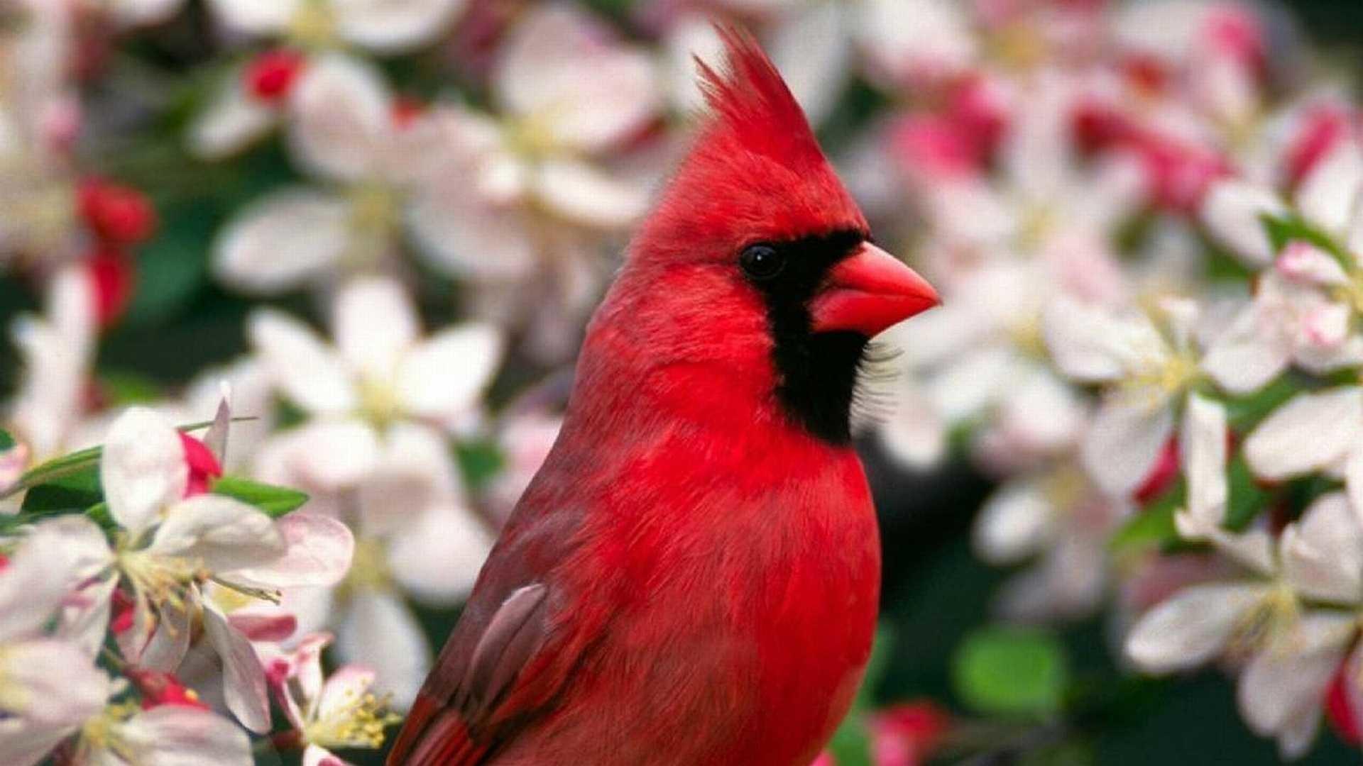 Res: 1920x1080, cardinal-bird-hd-wallpapers