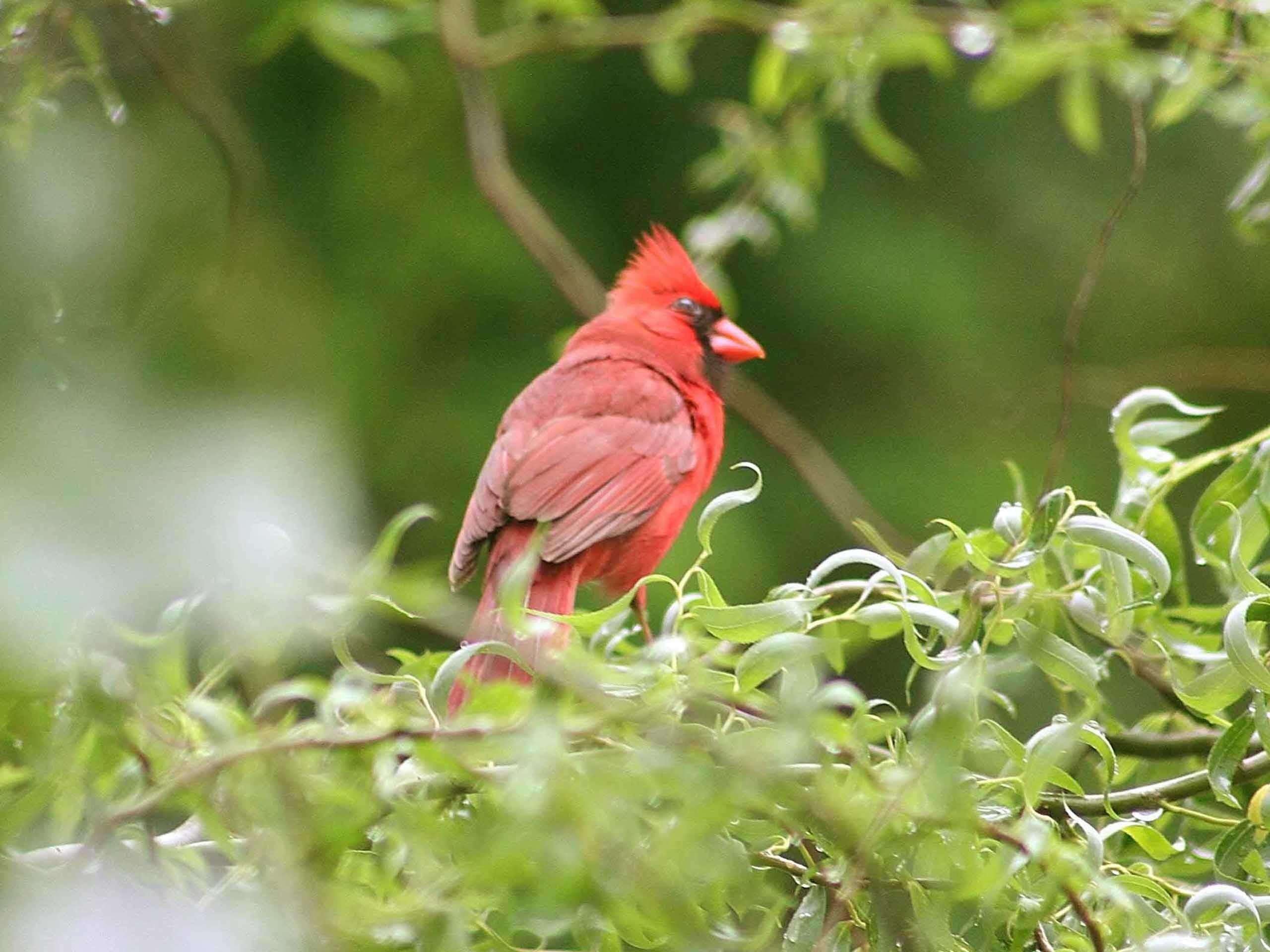 Res: 2560x1920, red bird wallpaper #437882