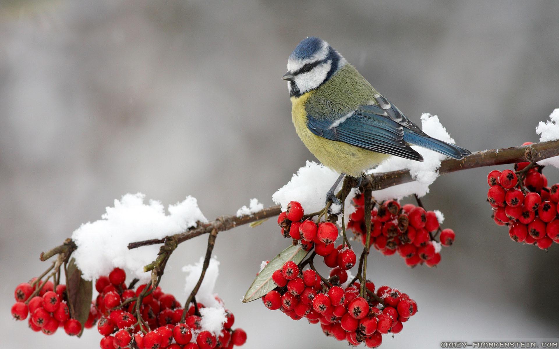 Res: 1920x1200, Computer Free Christmas Bird Wallpapers, Desktop Backgrounds
