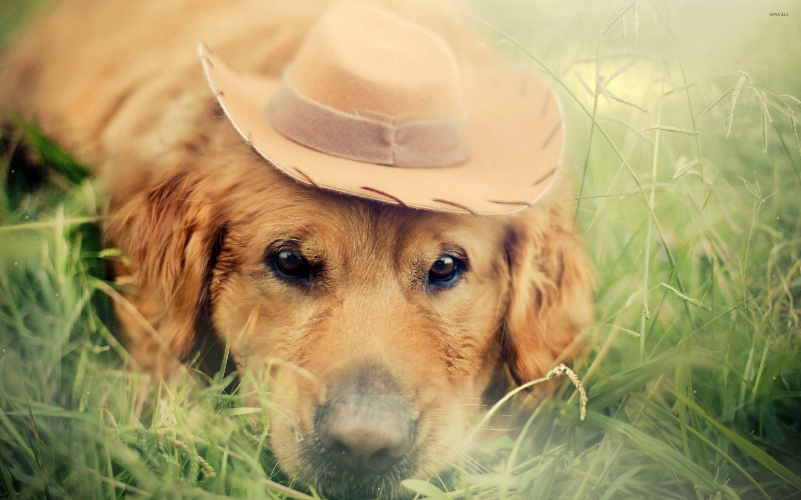 Res: 2560x1600, Golden retriever with a cowboy hat wallpaper