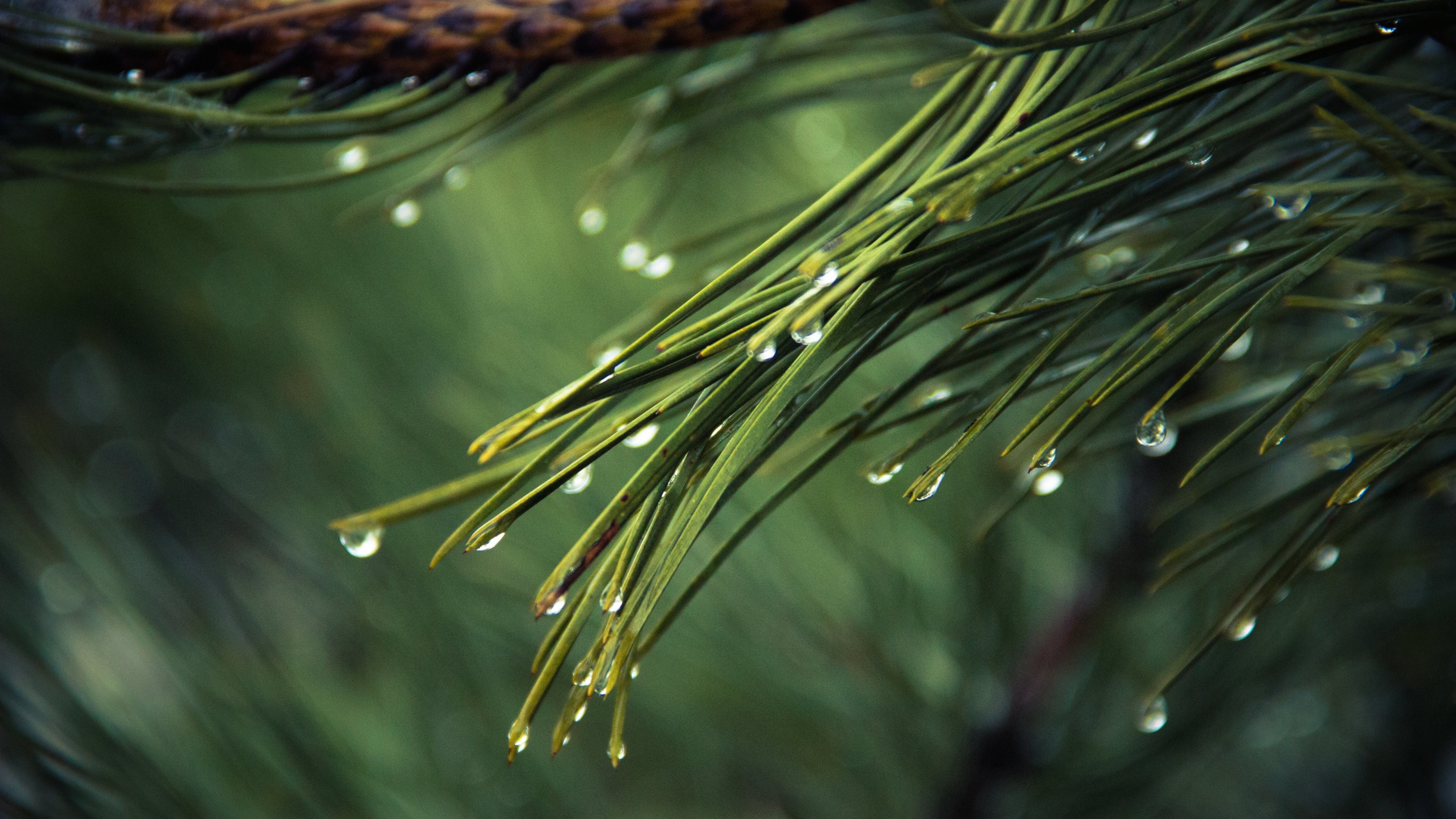 Res: 3840x2160, Dew on Pine Tree