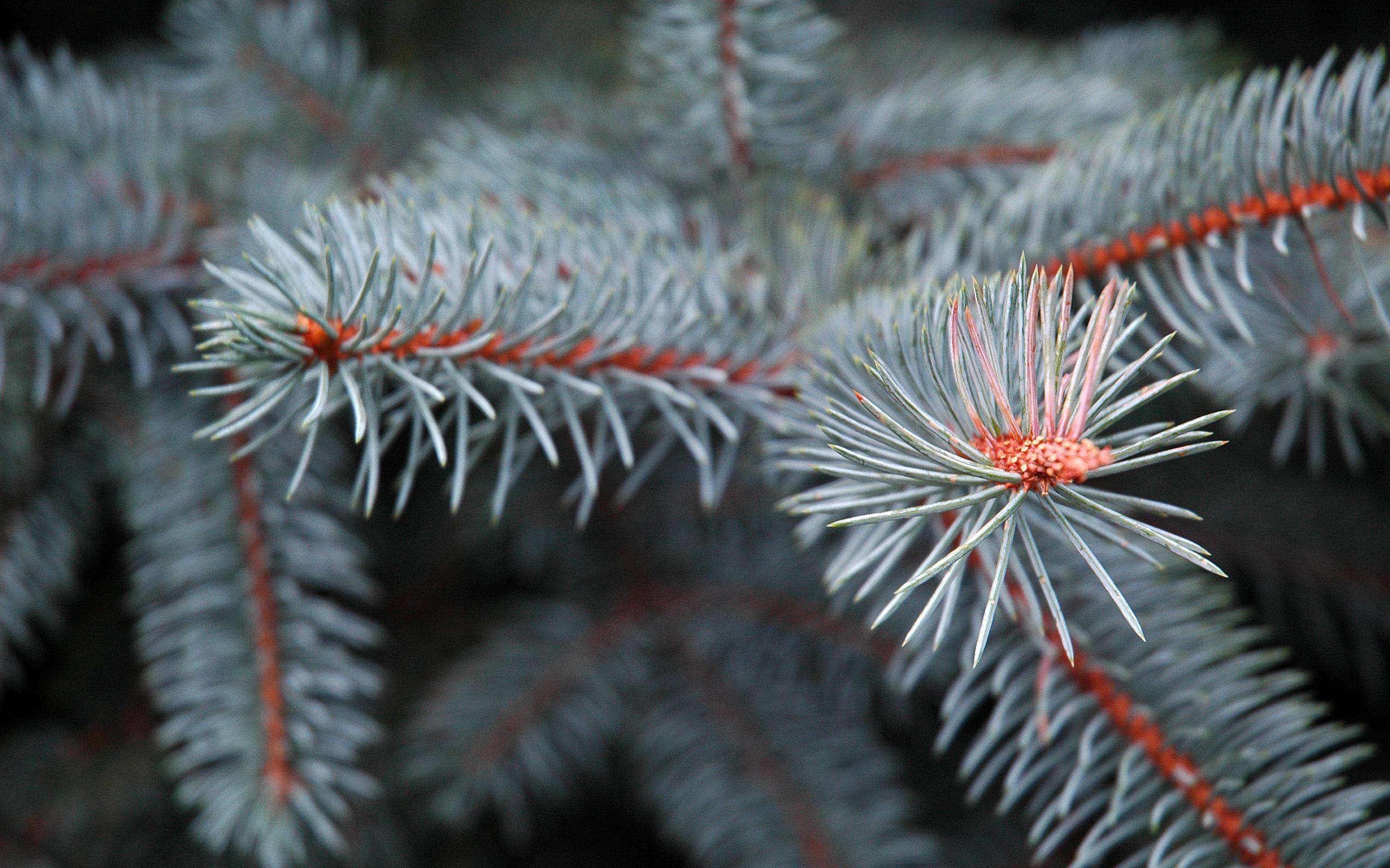 Res: 2560x1600, Pine Tree Wallpaper