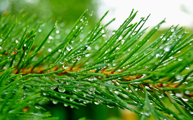 Res: 2880x1800, Earth - Pine Tree Wallpaper