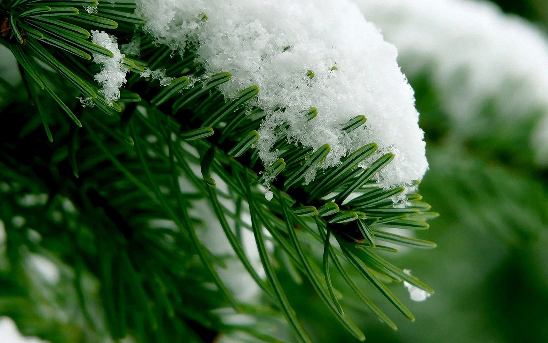 Res: 1920x1200, Snow In The Pine Tree Wallpaper