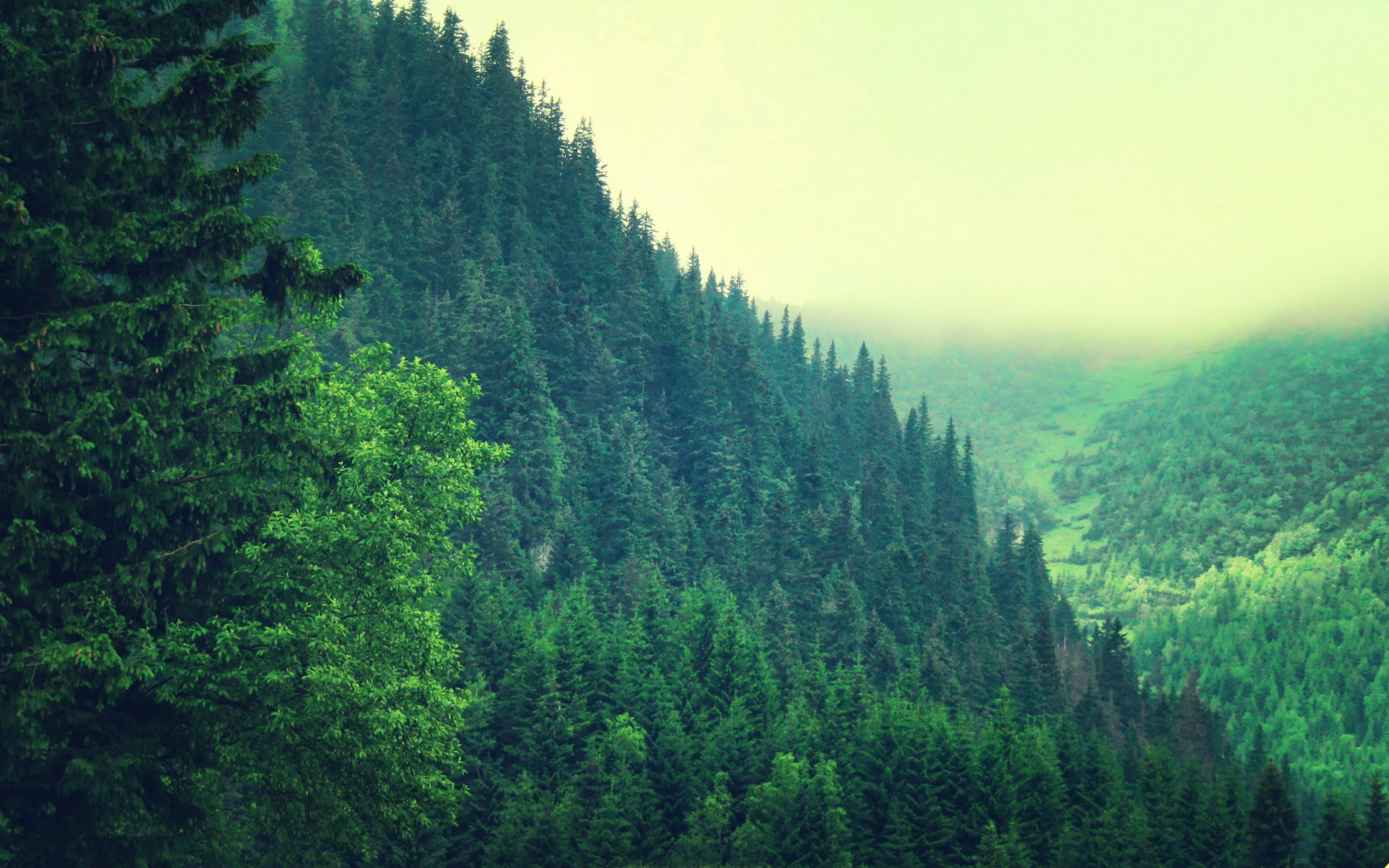 Res: 2560x1600, Pine Tree Wallpapers 7 - 2560 X 1600
