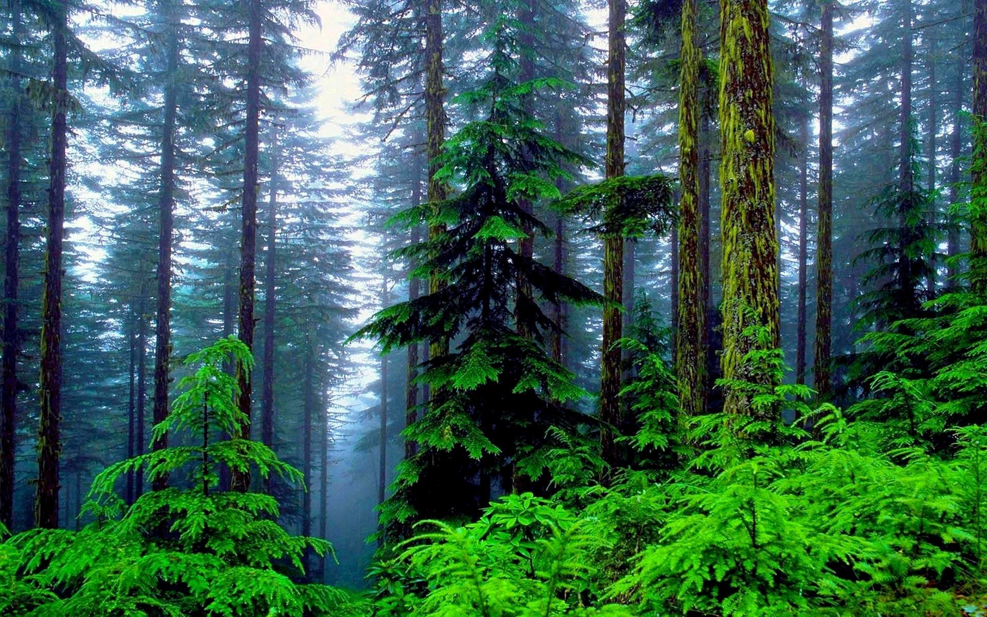 Res: 1920x1200,  Pine Forest Wallpaper HD 13699  px ~ FreeWallSource.
