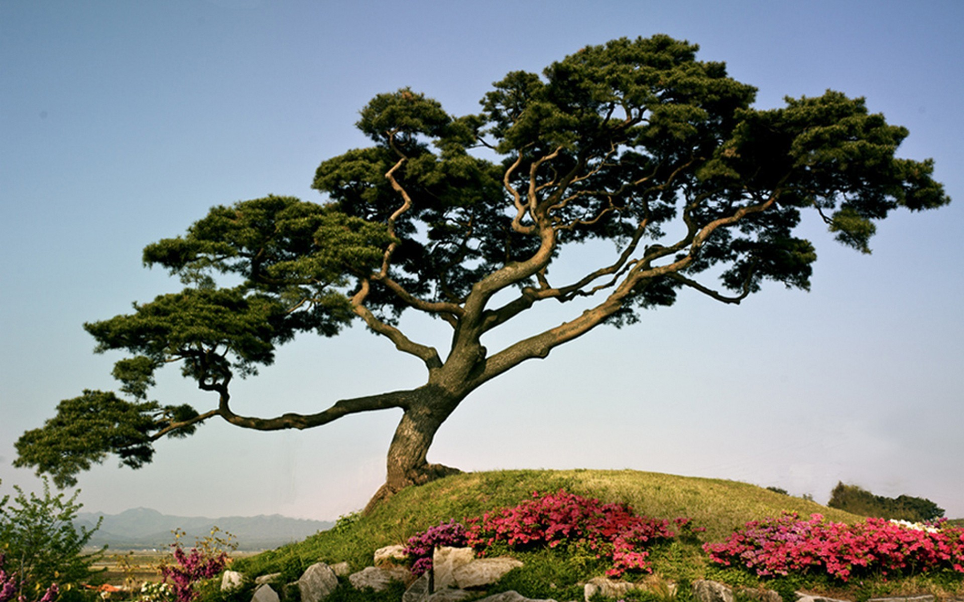 Res: 1920x1200, Japanese pine-tree on a mountain