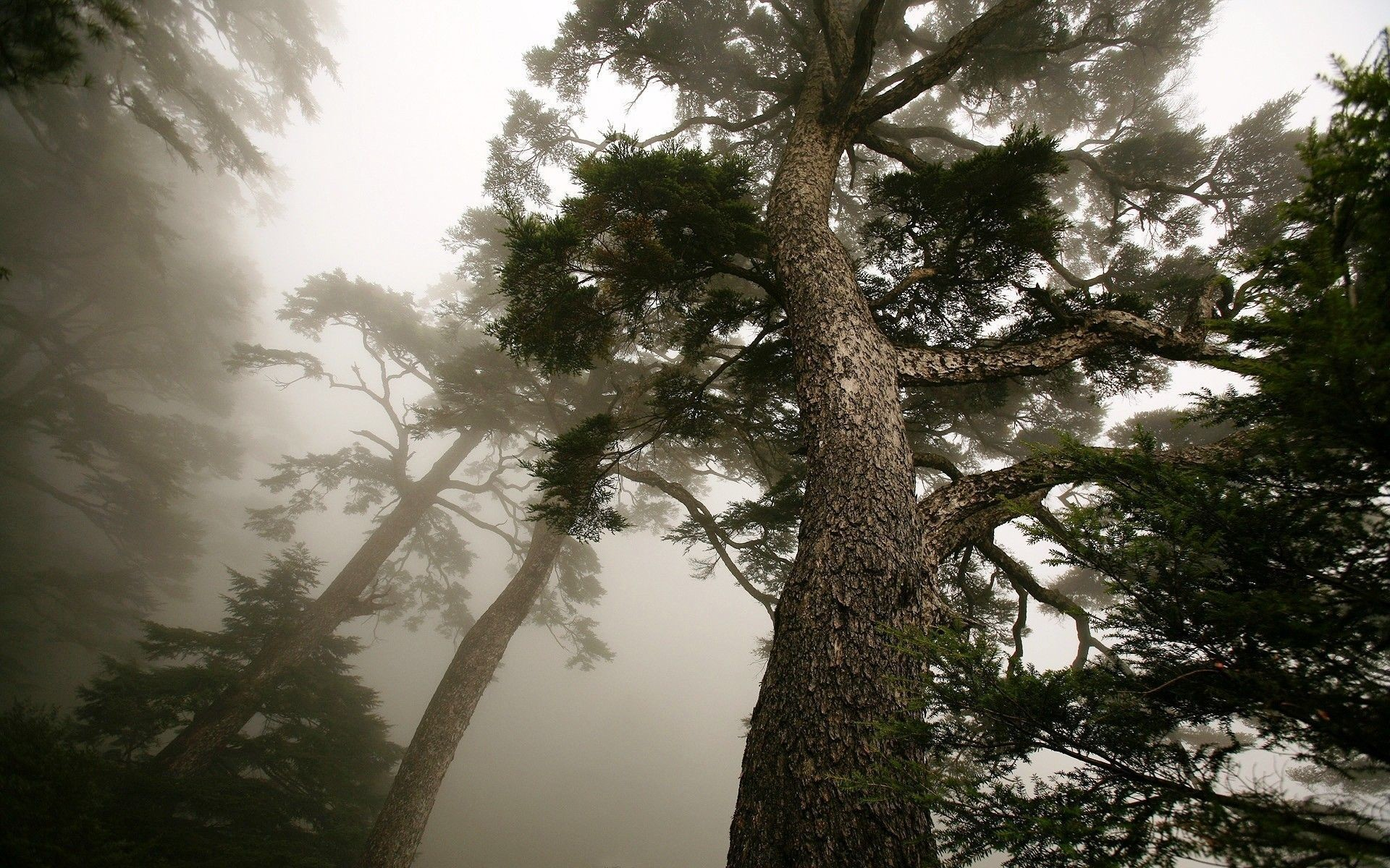 Res: 1920x1200, Pine Trees Wallpaper - Viewing Gallery