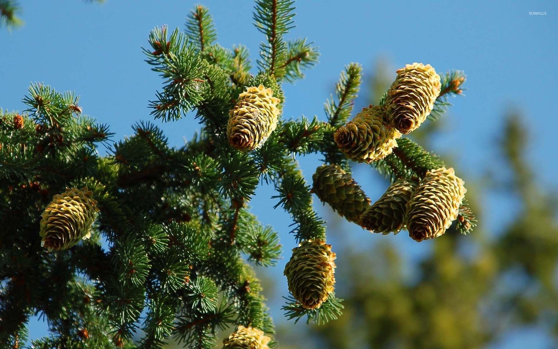 Res: 1920x1200, Cones in pine tree wallpaper