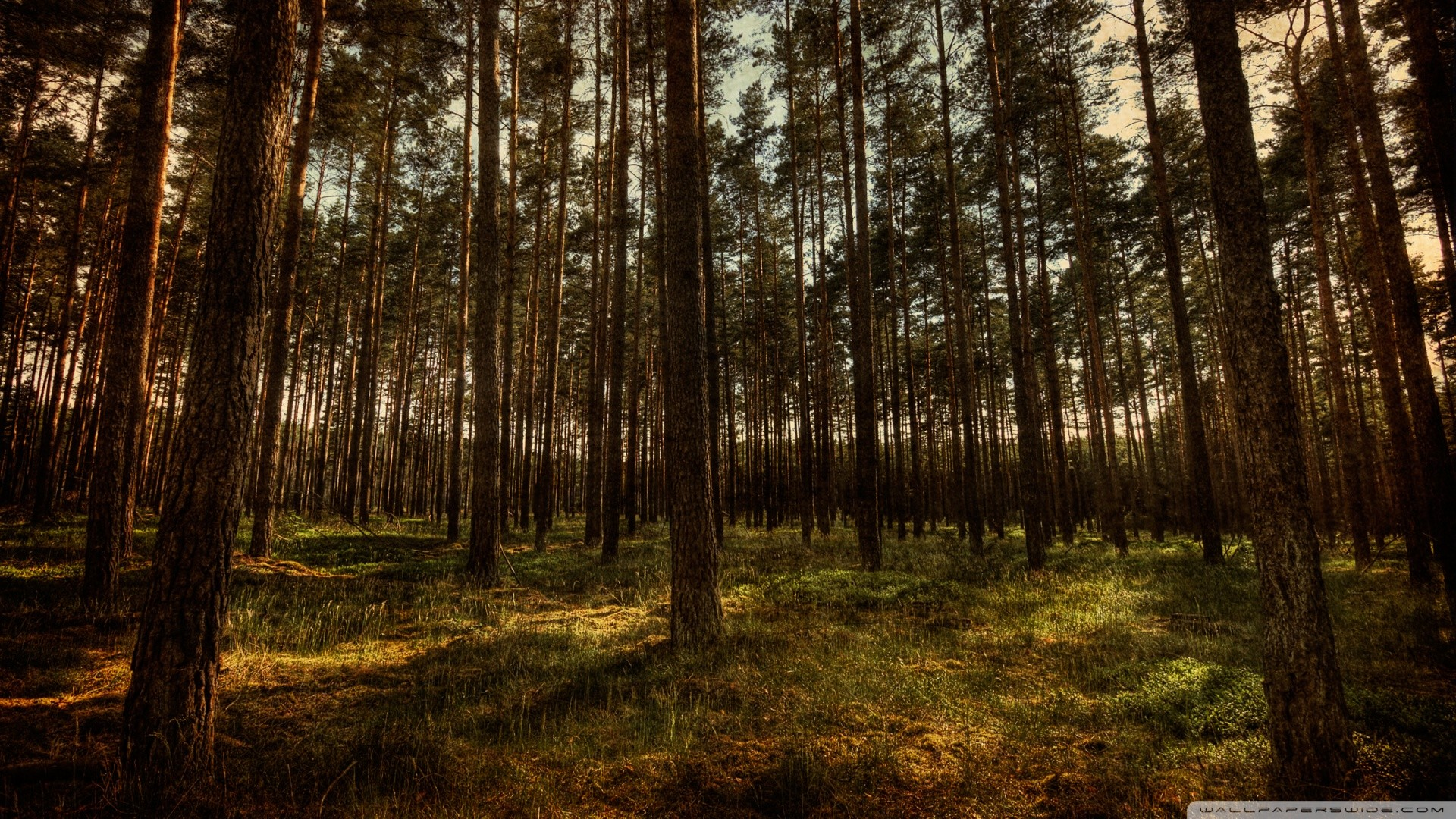 Res: 1920x1080, ... Pine Tree Wallpapers - Wallpaper Cave ...