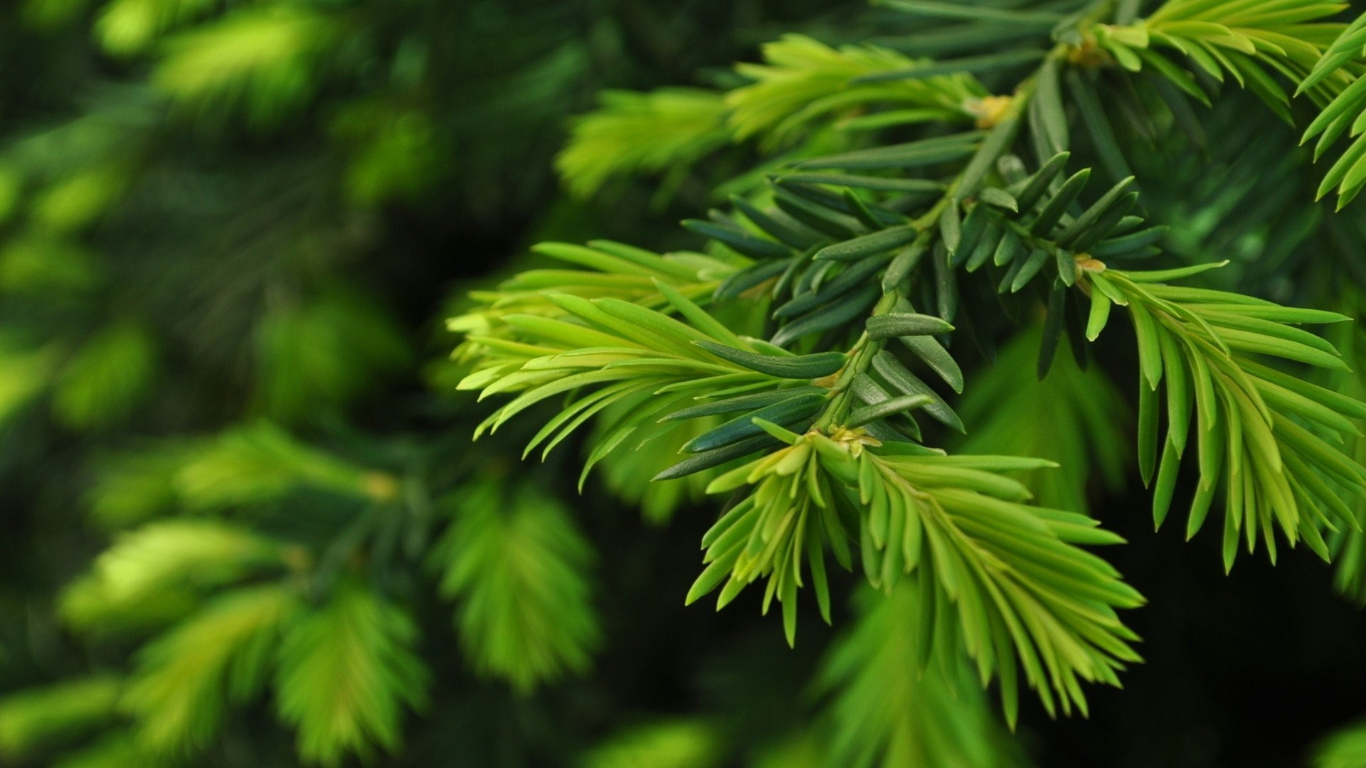 Res: 1920x1080, Green nature trees Christmas trees pine trees wallpaper |  |  252622 | WallpaperUP