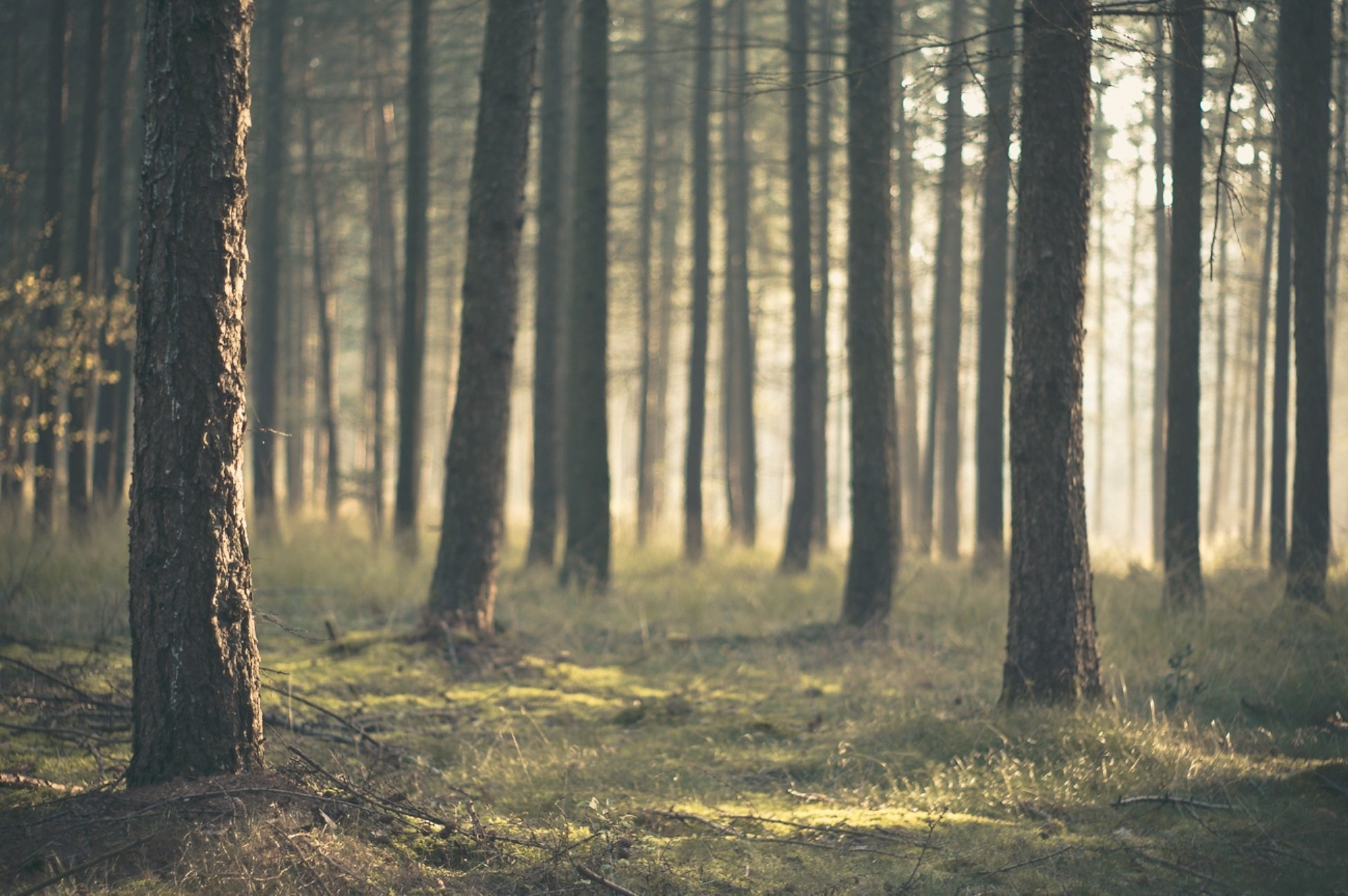 Res: 1950x1296, Pine-Tree-Forest-Wallpaper-Background-HD-2