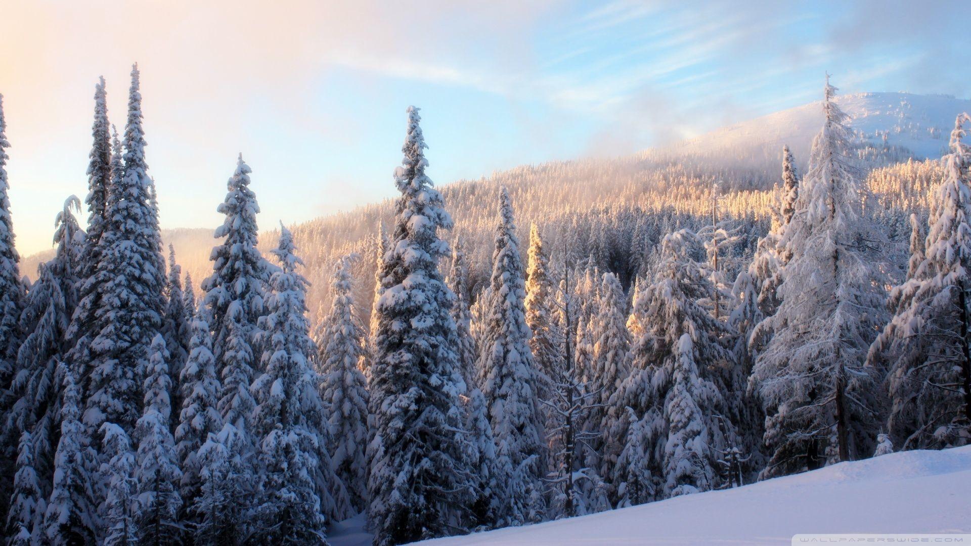 Res: 1920x1080, Fir Trees Under The Snow Forest HD desktop wallpaper High