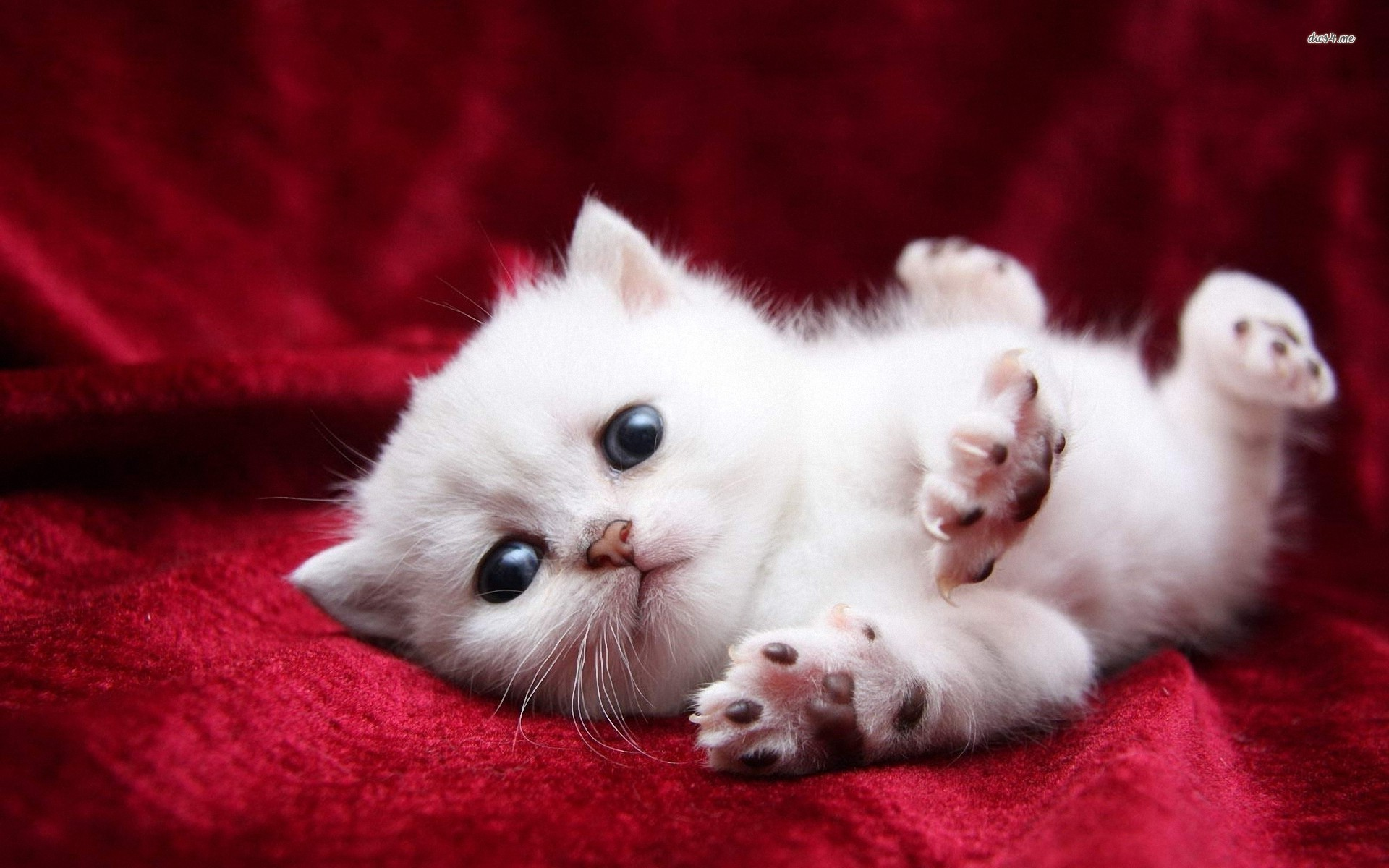 Res: 1920x1200, White Cats And Kittens Wallpapers