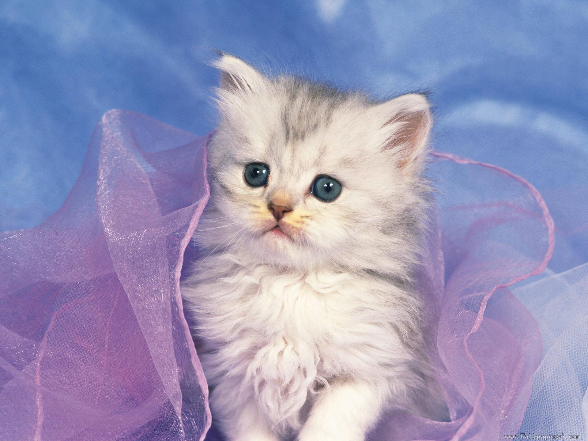 Res: 1920x1440, Cute White Kitten