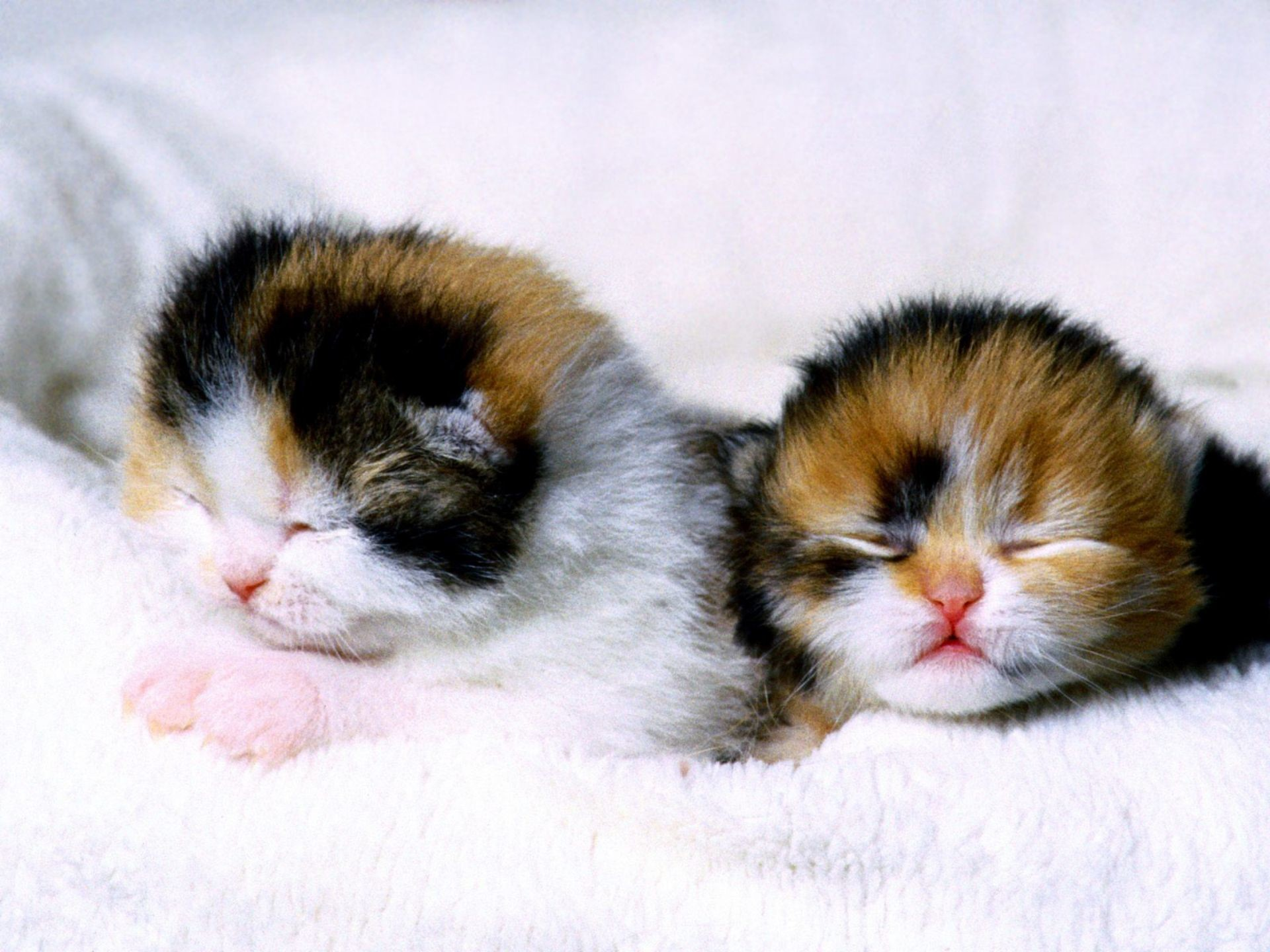 Res: 1920x1440, Calico Kittens