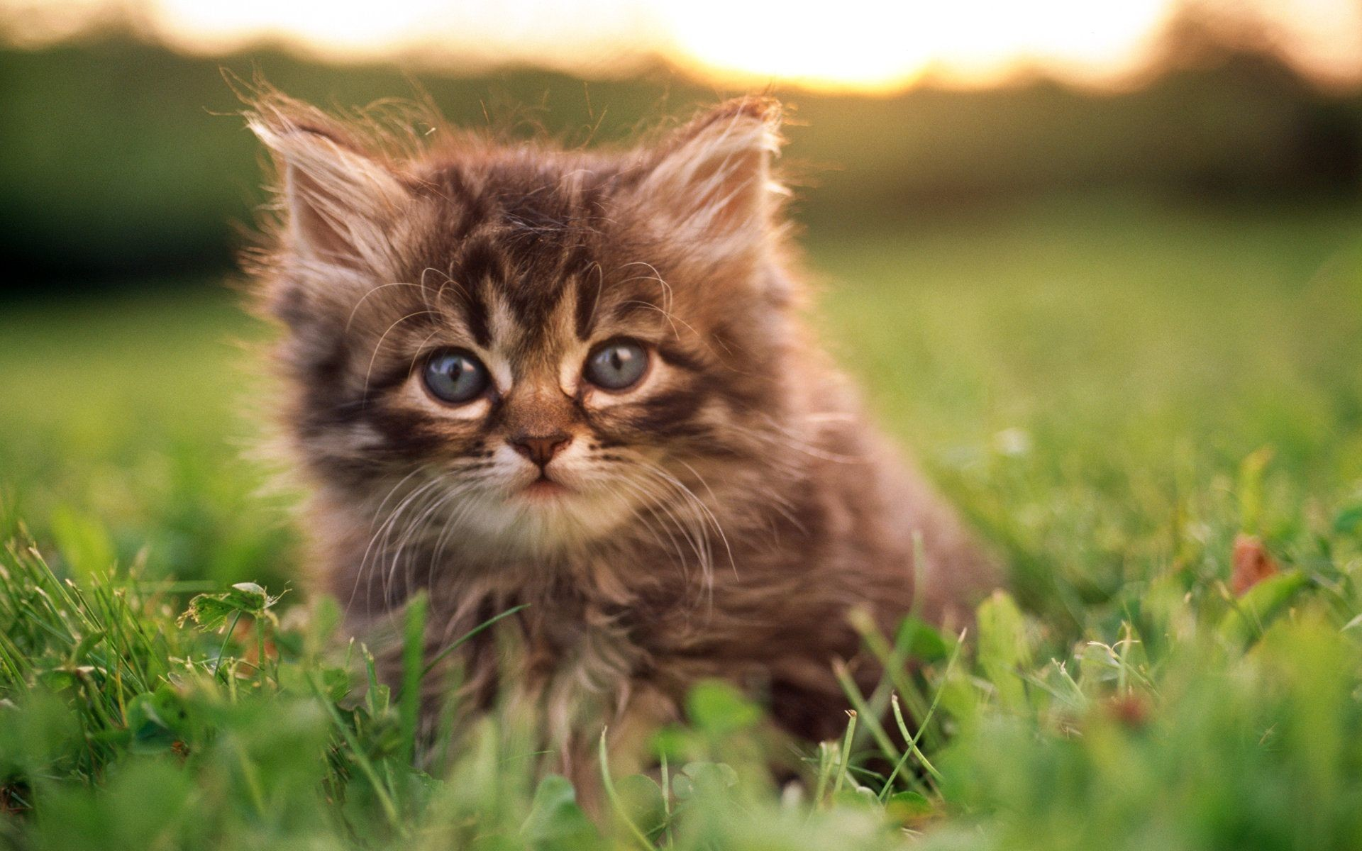 Res: 1920x1200, HD Sweet Kitty : Adorable Fluffy Baby Kittens Widescreen Wallpapers  1920*1200 Wallpaper 25