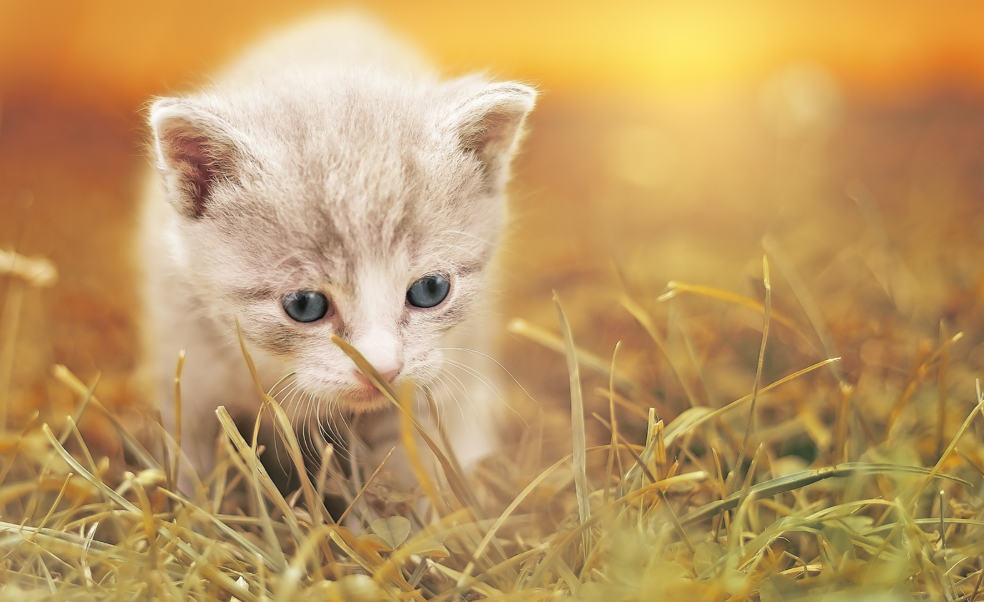 Res: 3160x1934, Baby cat, Cute kitten, Adorable, HD