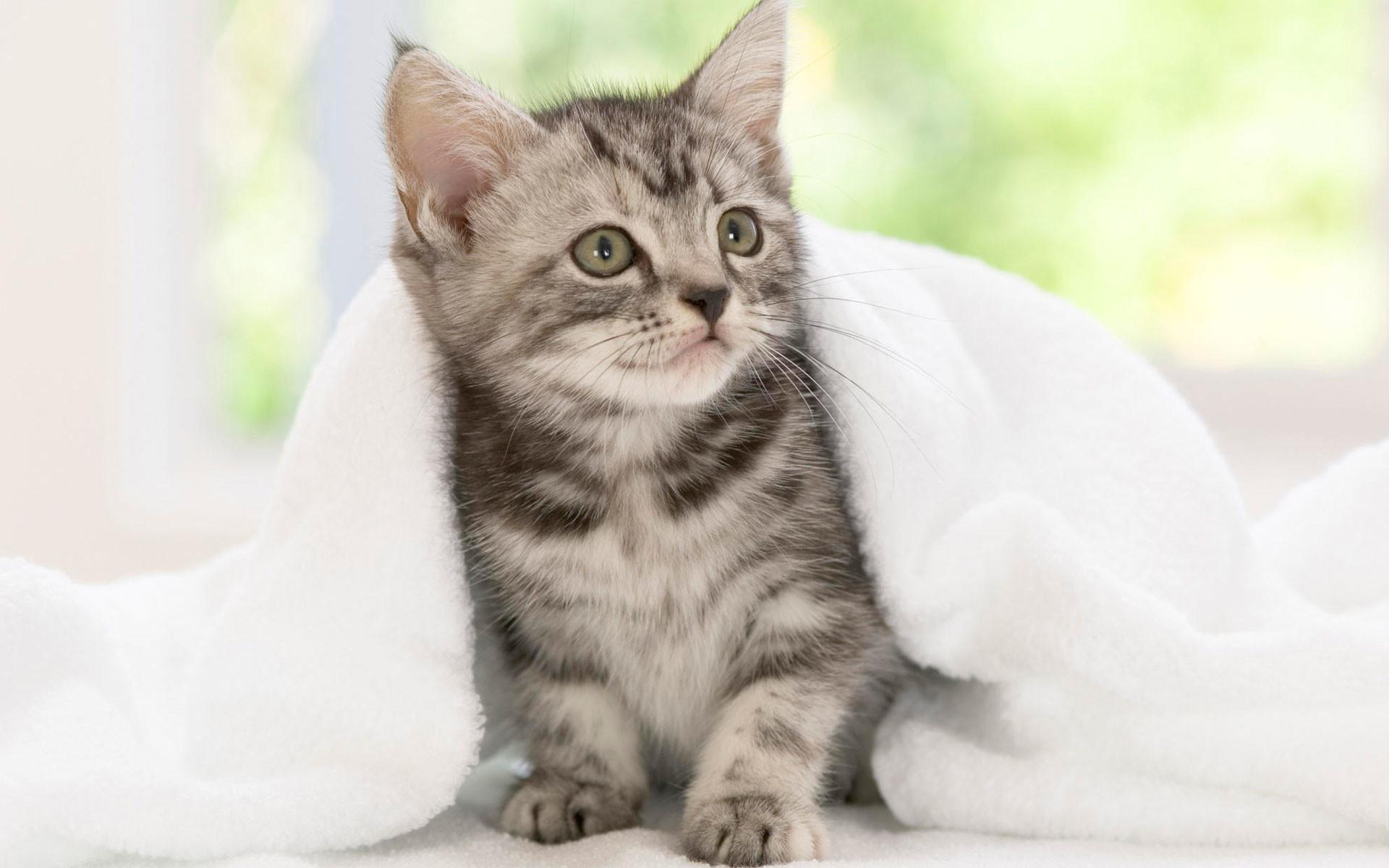 Res: 1920x1200, American Shorthair Kitten Wallpaper