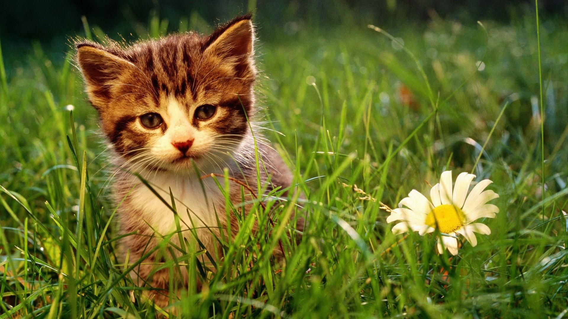 Res: 1920x1080, undefined Pictures Of Cute Kittens Wallpapers (68 Wallpapers)   Adorable  Wallpapers