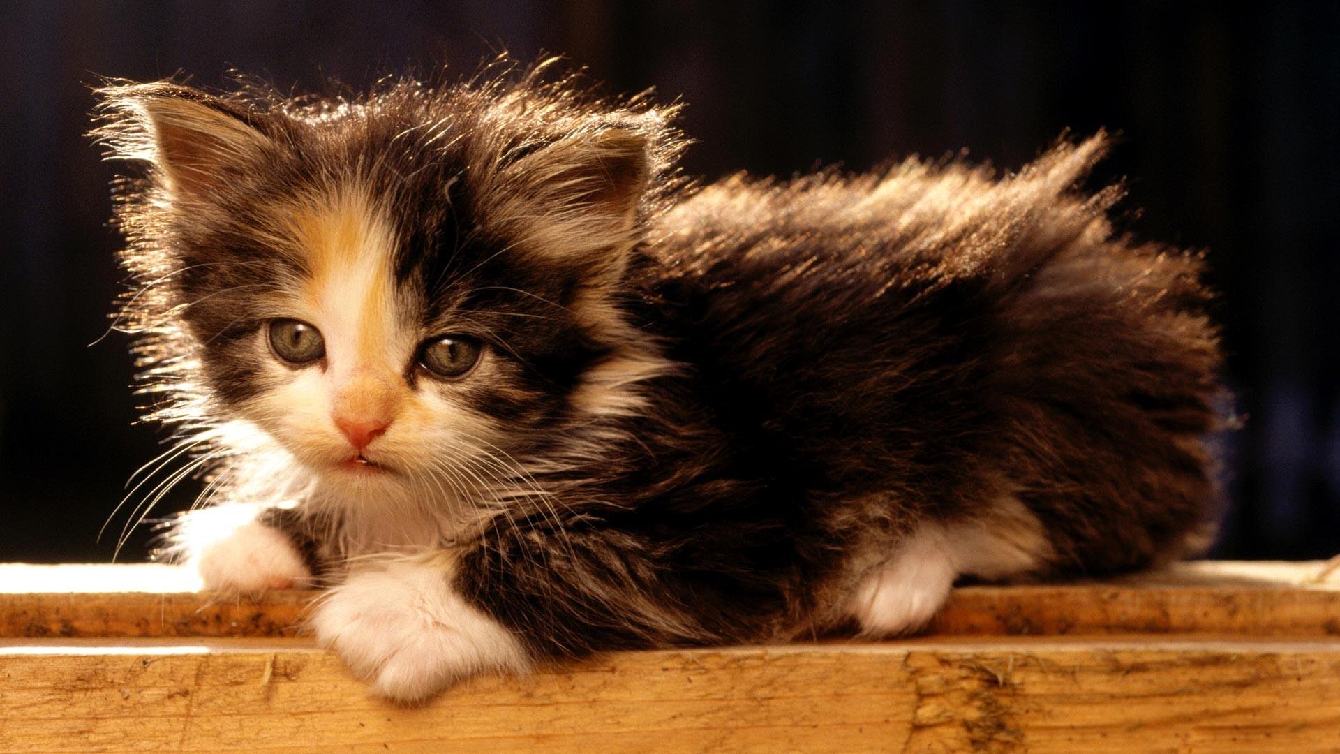 Res: 1920x1080, Little fluffy kitten