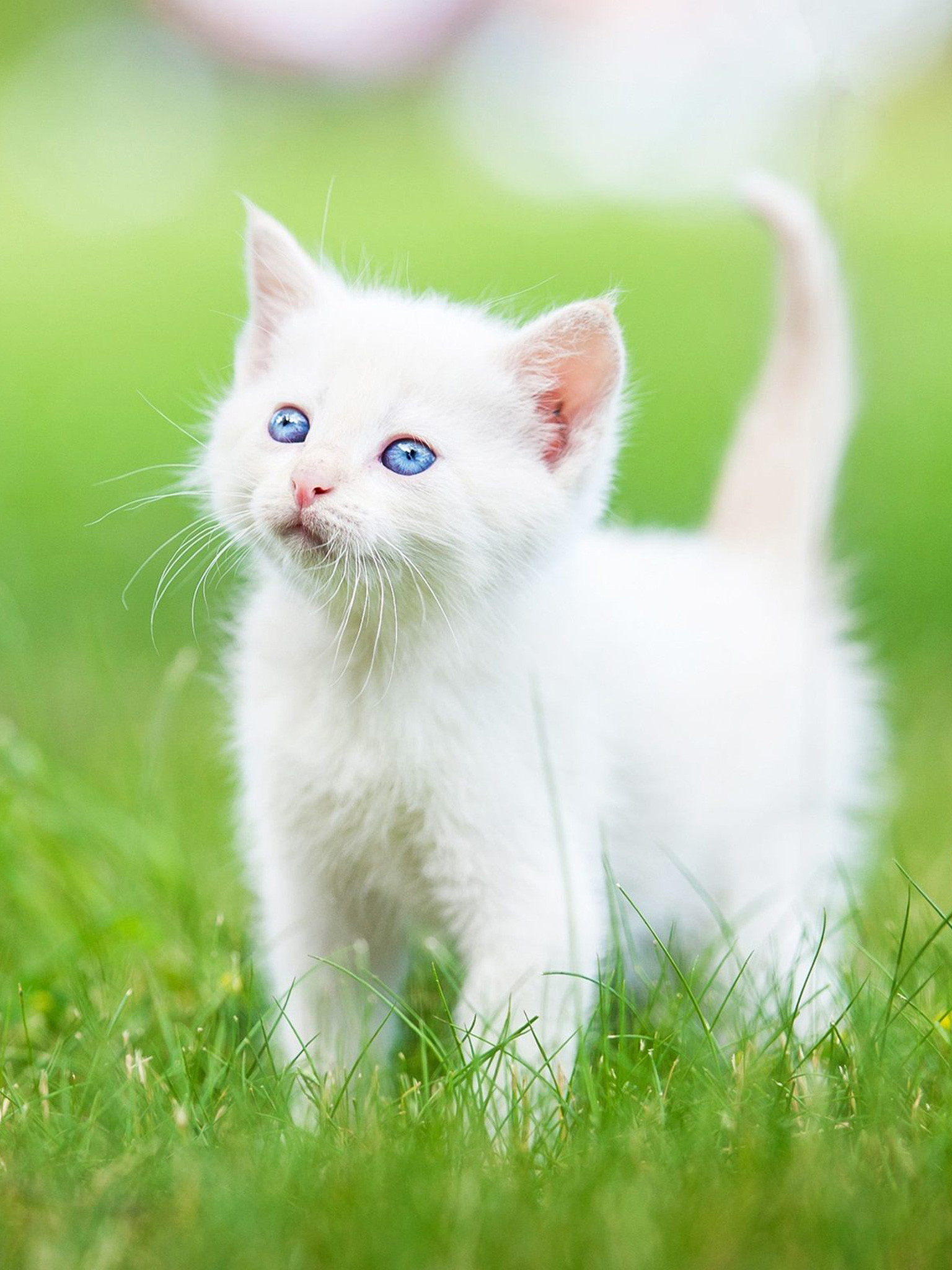 Res: 1536x2048, Persian kitten Wallpaper