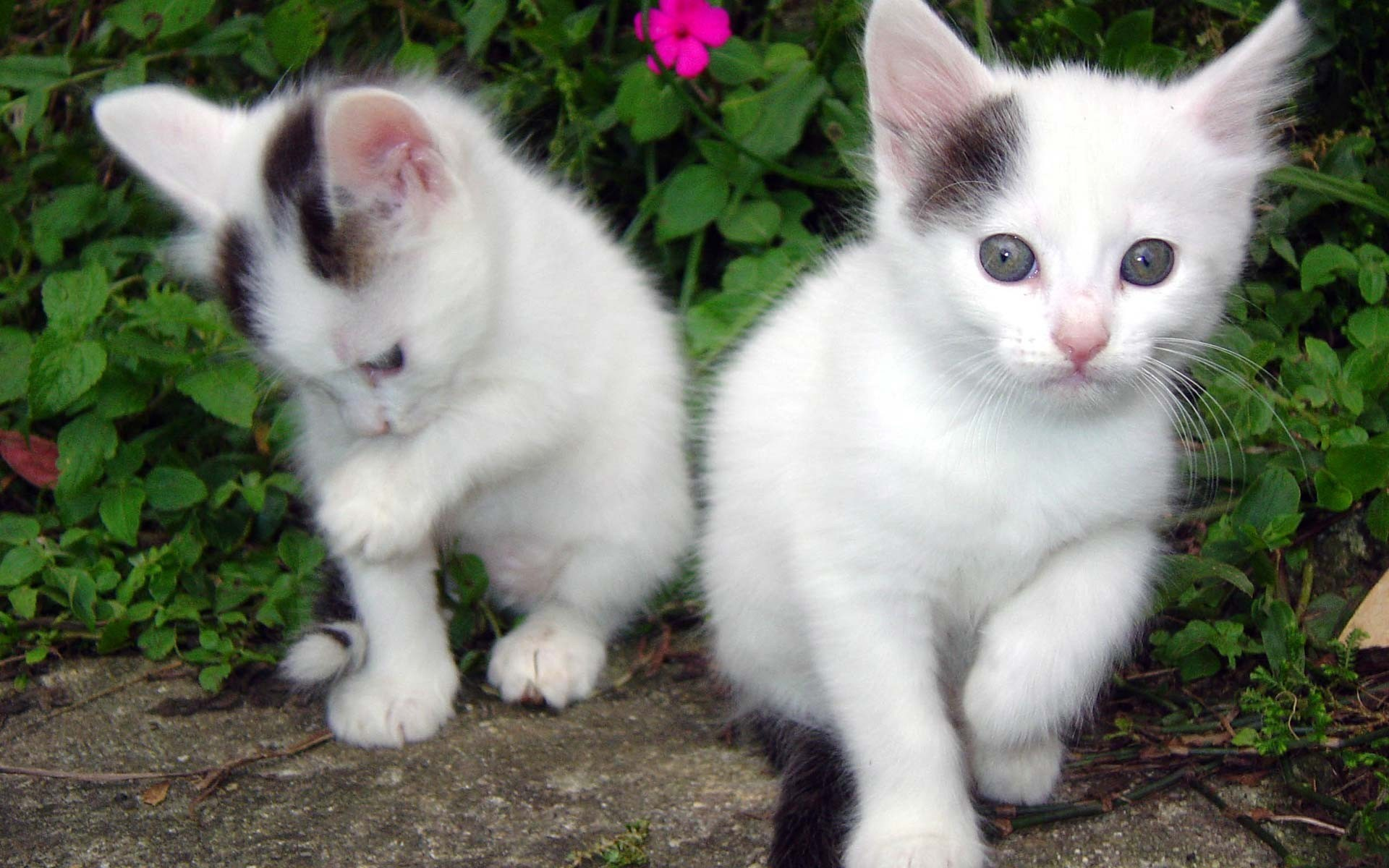 Res: 1920x1200, Cute White Baby Cats Wallpaper.jpg?m=1390822827