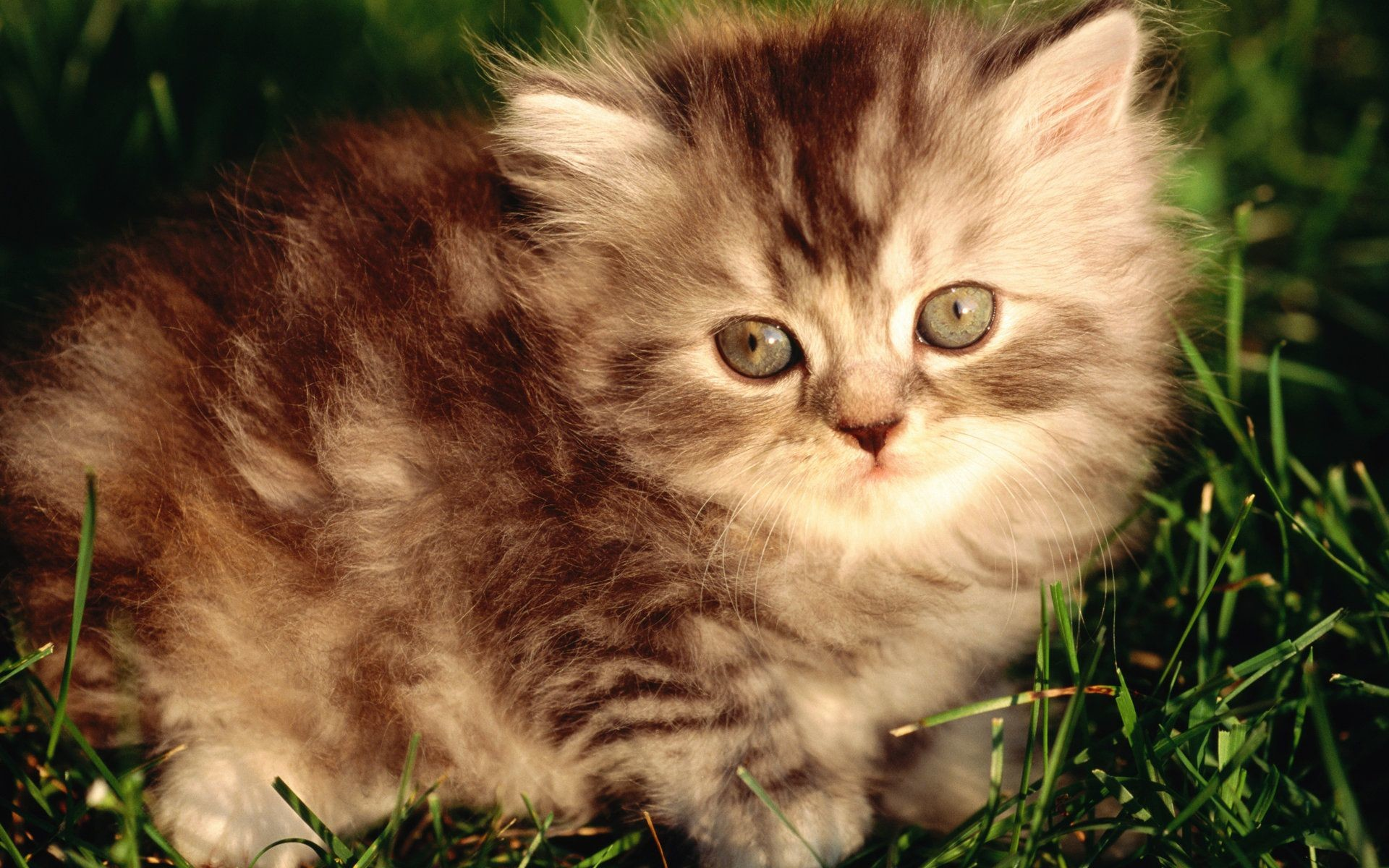 Res: 1920x1200, HD Sweet Kitty : Adorable Fluffy Baby Kittens Widescreen Wallpapers  1920*1200 Wallpaper 20