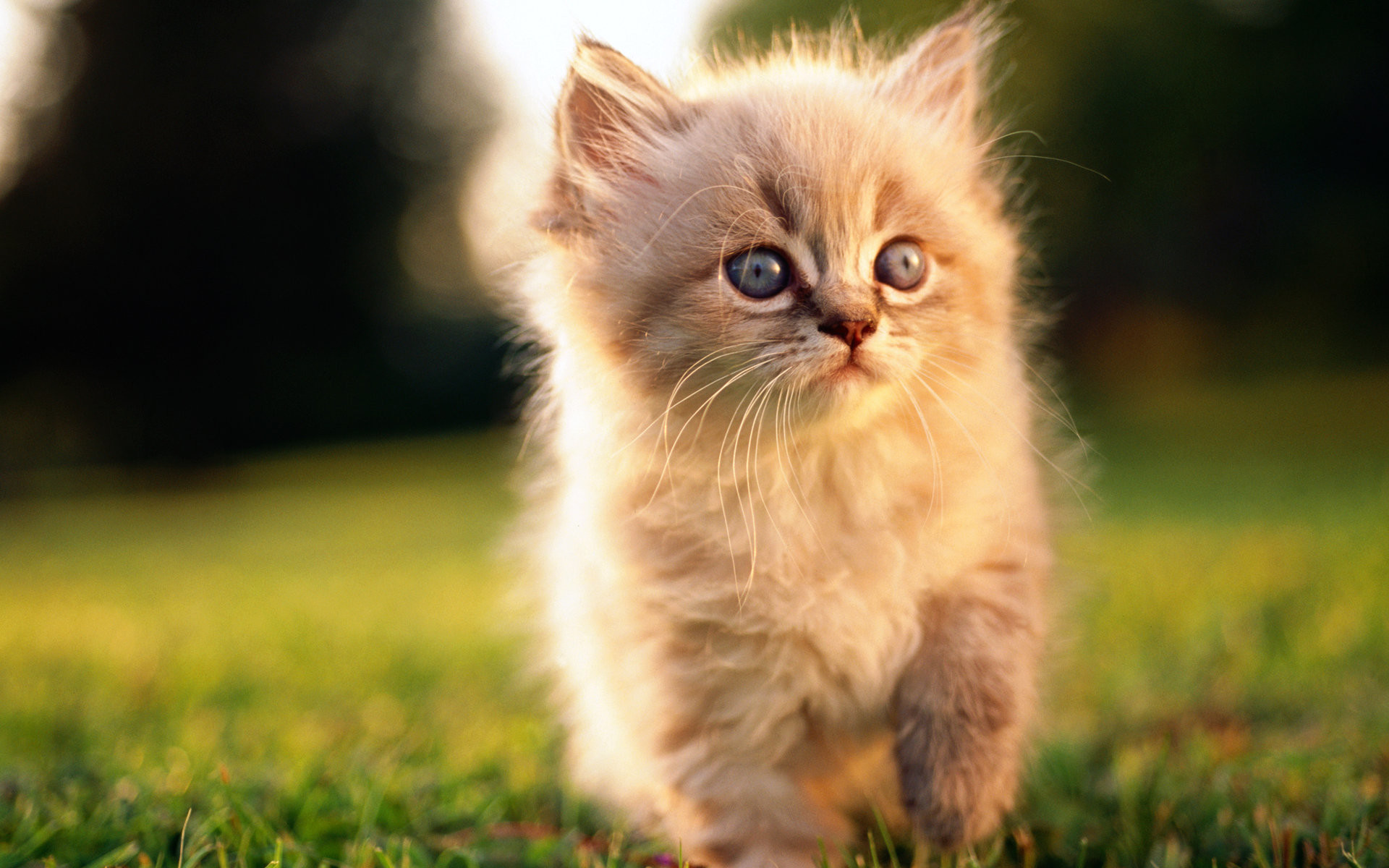 Res: 1920x1200, HD Sweet Kitty : Adorable Fluffy Baby Kittens Widescreen Wallpapers  1920*1200 Wallpaper 24