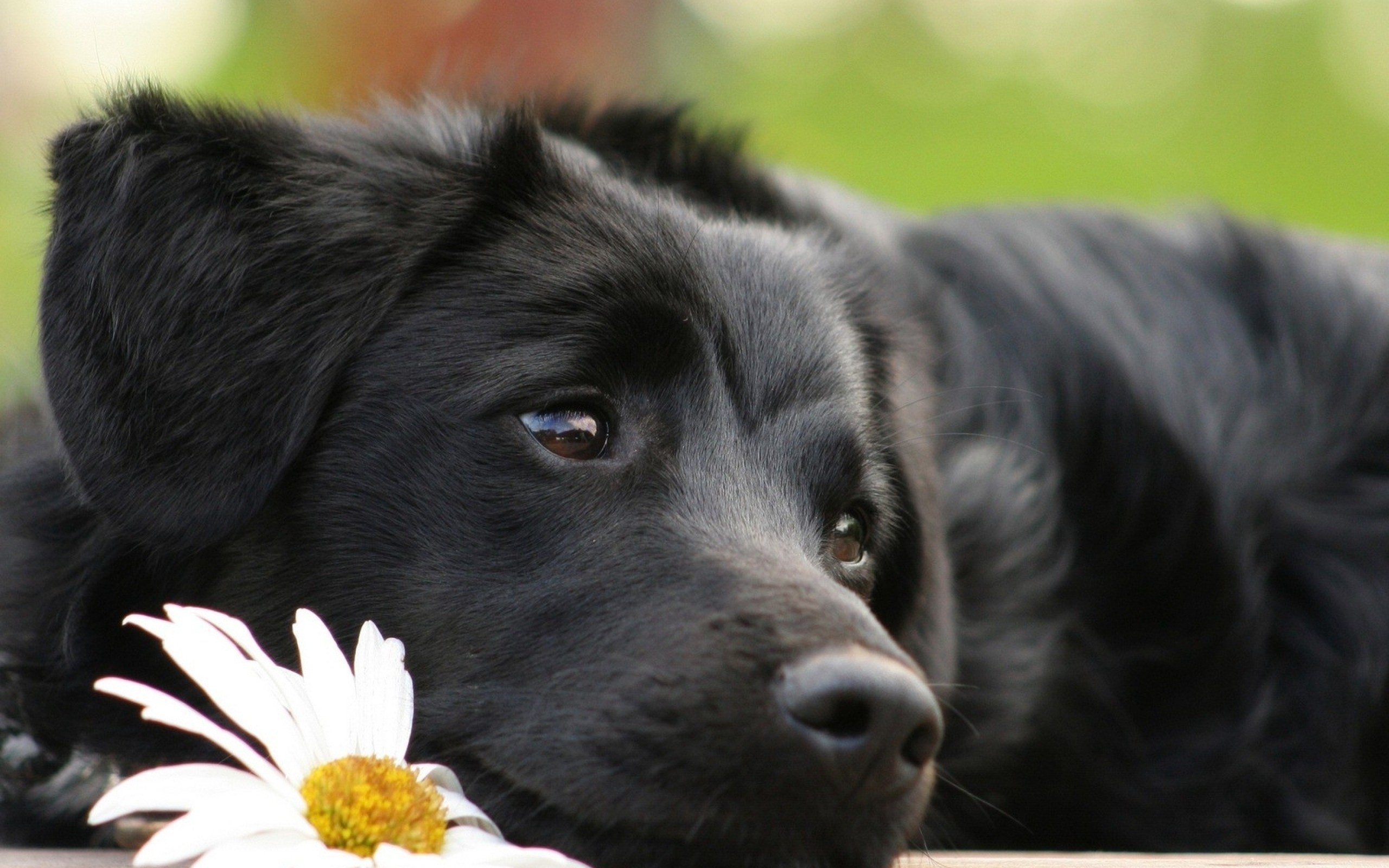 Res: 2560x1600, Most Popular HD Wallpapers of Black Dog Animal