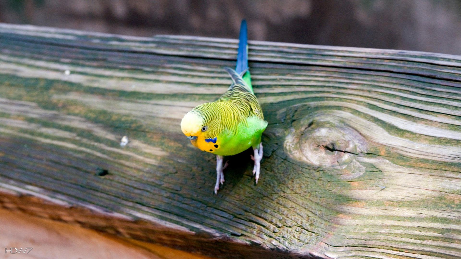 Res: 1920x1080, budgie parrot most popular world pet bird