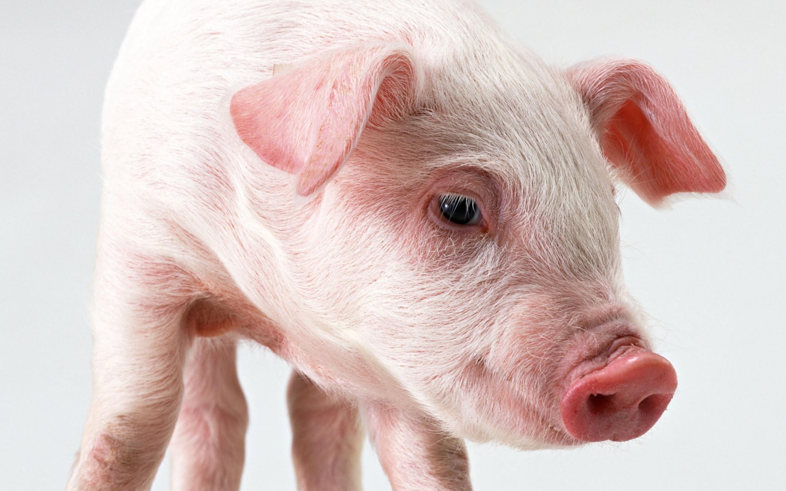 Res: 2560x1600, Animal - Pig Wallpaper