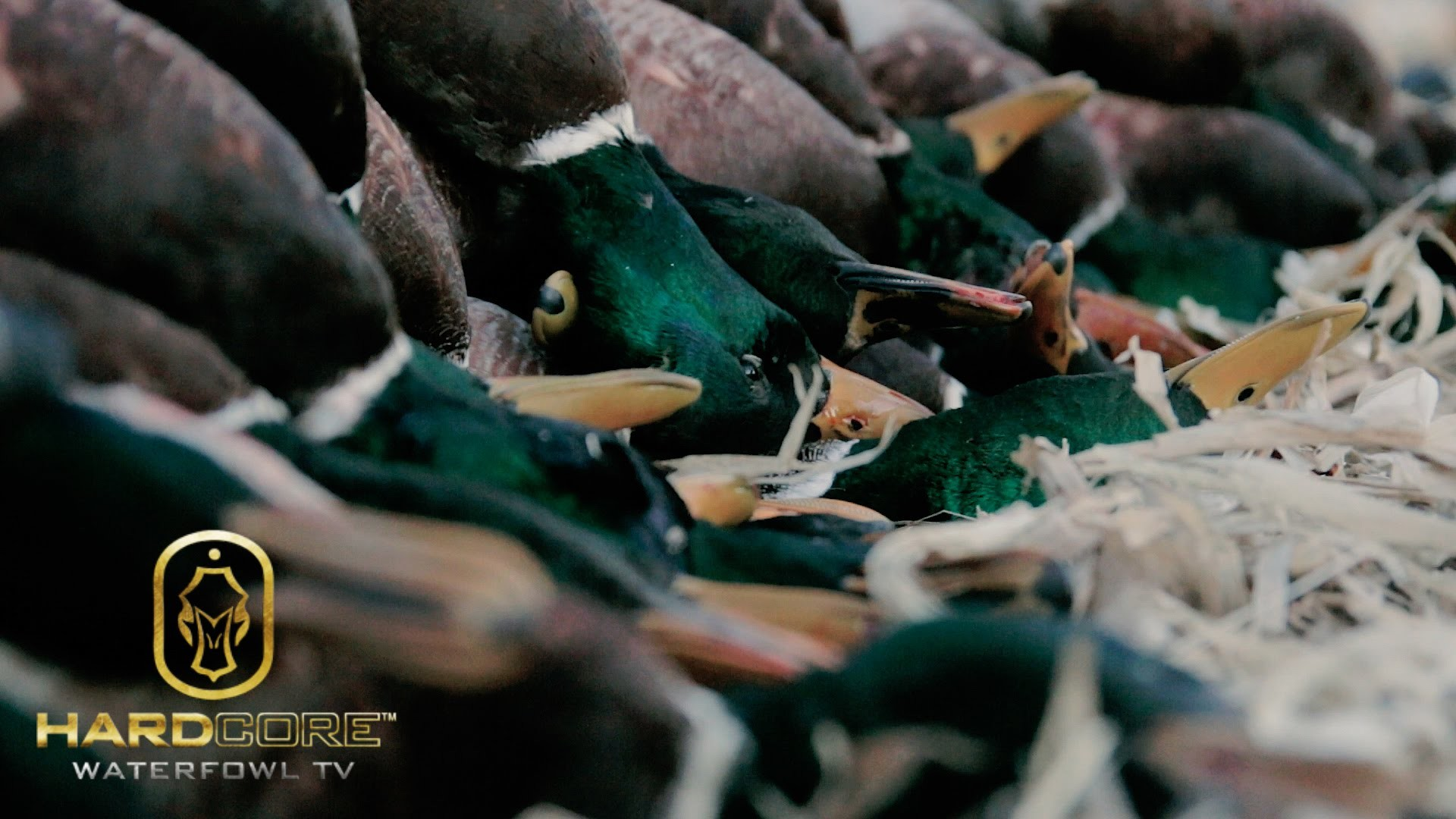 Res: 1920x1080, Duck Hunting: 10 Man Limit of Mallards - Hard Core Waterfowl TV Episode 3 -  YouTube