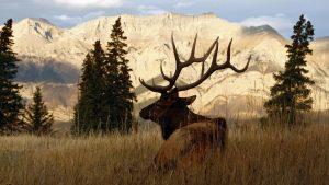 Bull Elk wallpapers