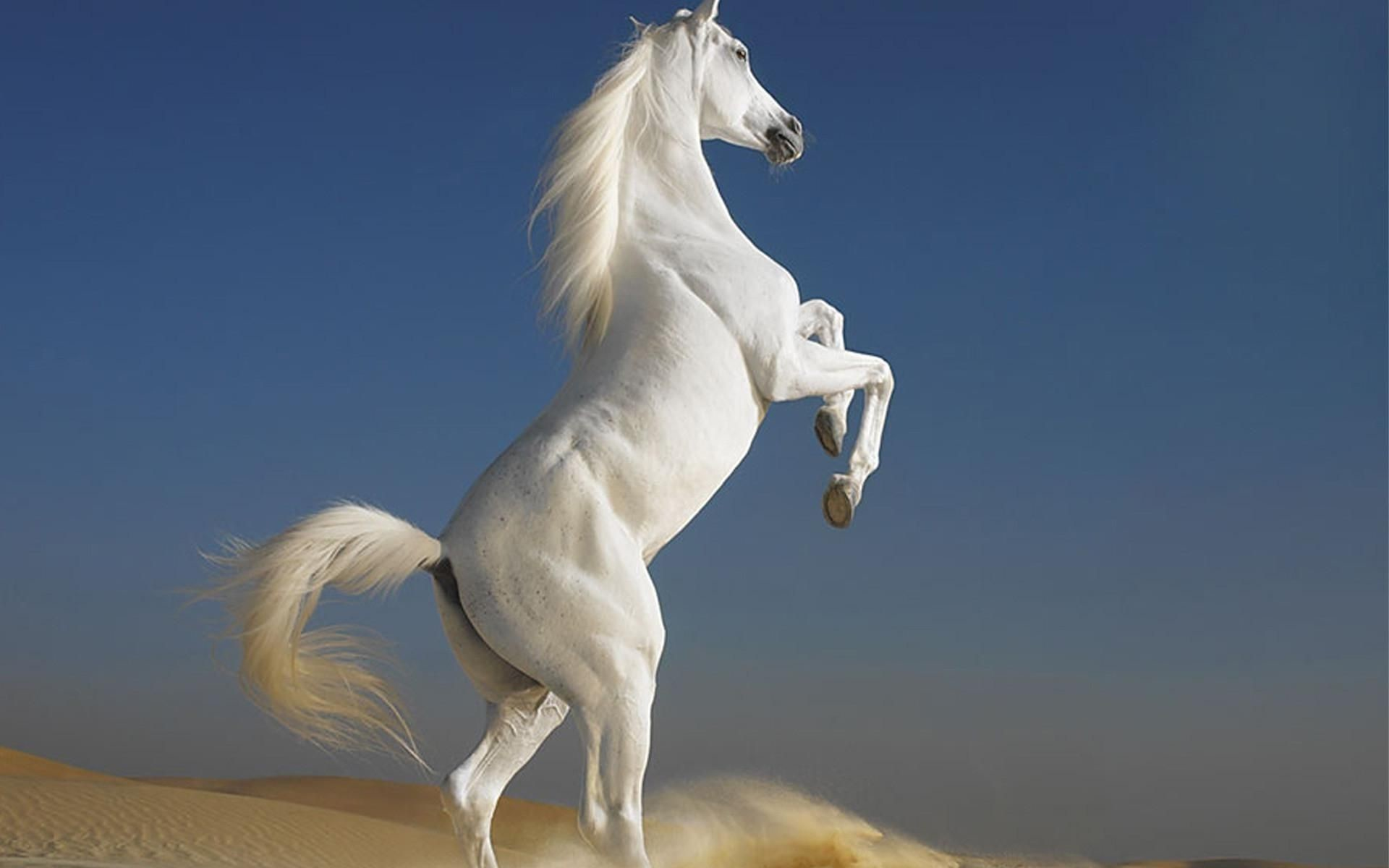 Res: 1920x1200, Beautiful white horse wallpapers and images wallpapers pictures .
