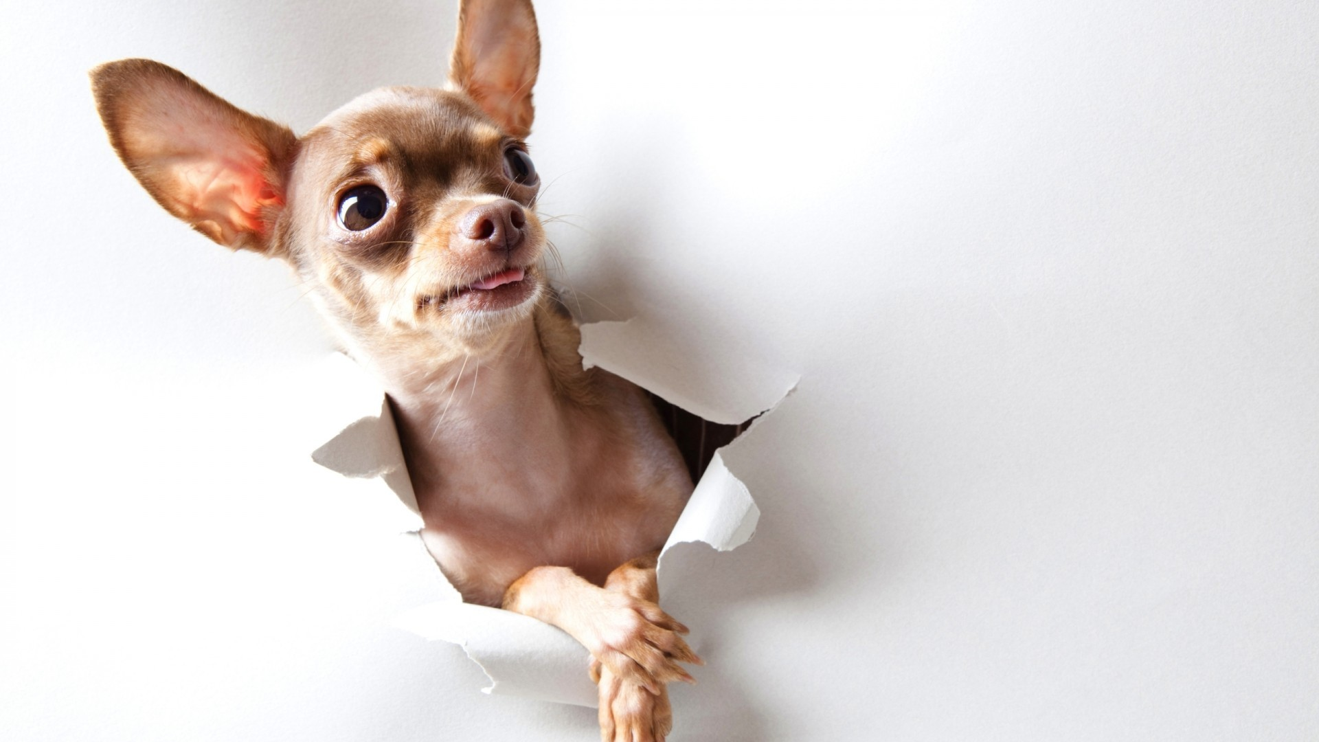 Res: 1920x1080, Animals curious dogs chihuahua wallpaper