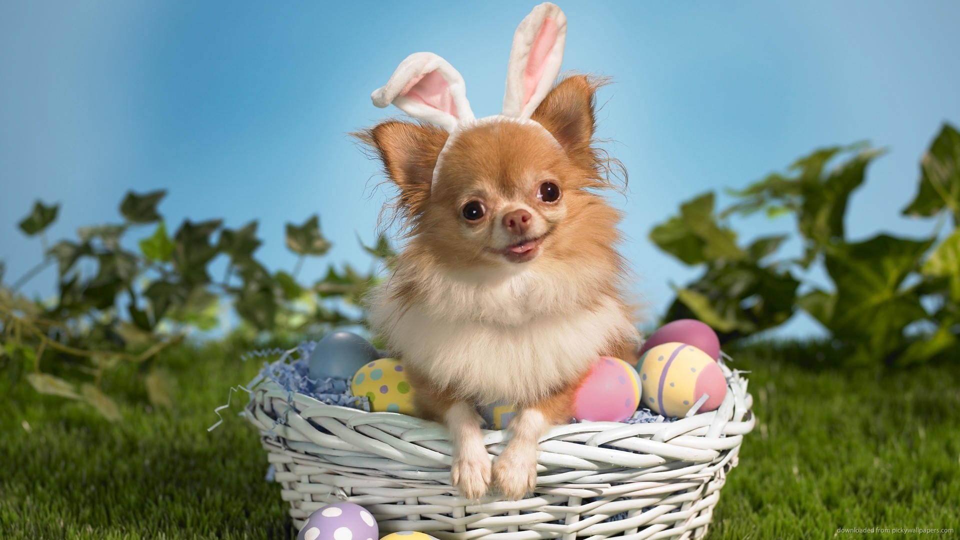 Res: 1920x1080, Easter Chihuahua portrait photo
